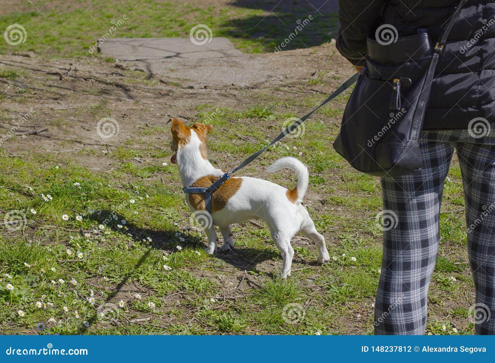 Dogsitter die met de terriër van hefboomrussell lopen Hond op een groen gazon