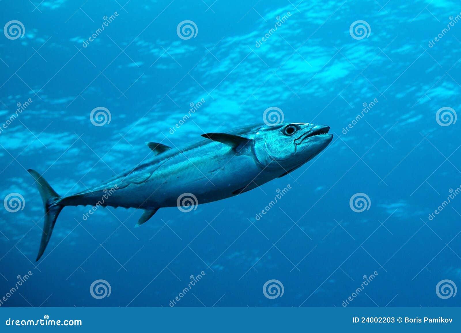 indian tuna fish