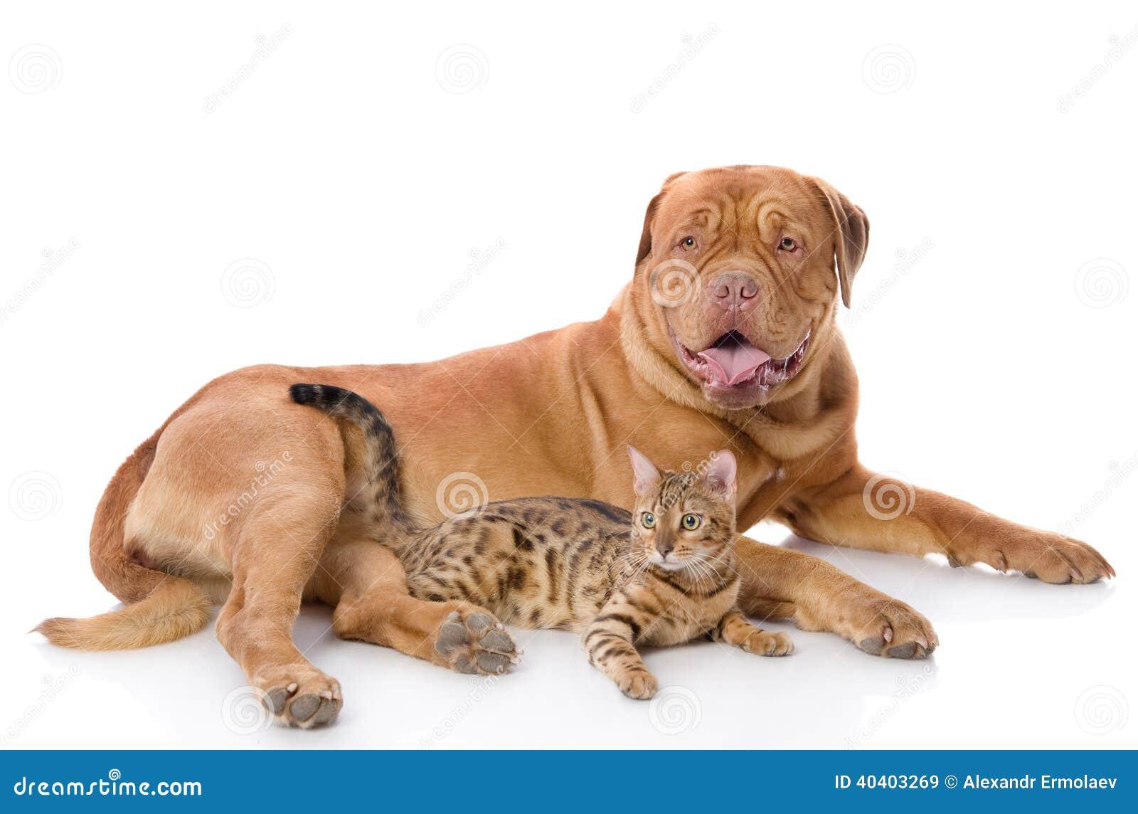 Dogue De Bordeaux And Bengal Cat Stock Image Image Of Leopard