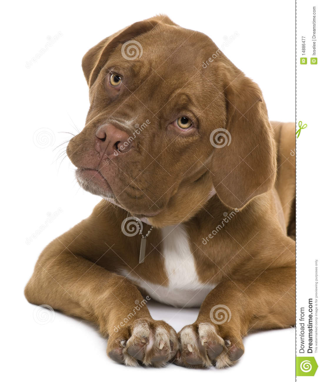 royalty free stock puppy purebred dog royalty bitch with puppy