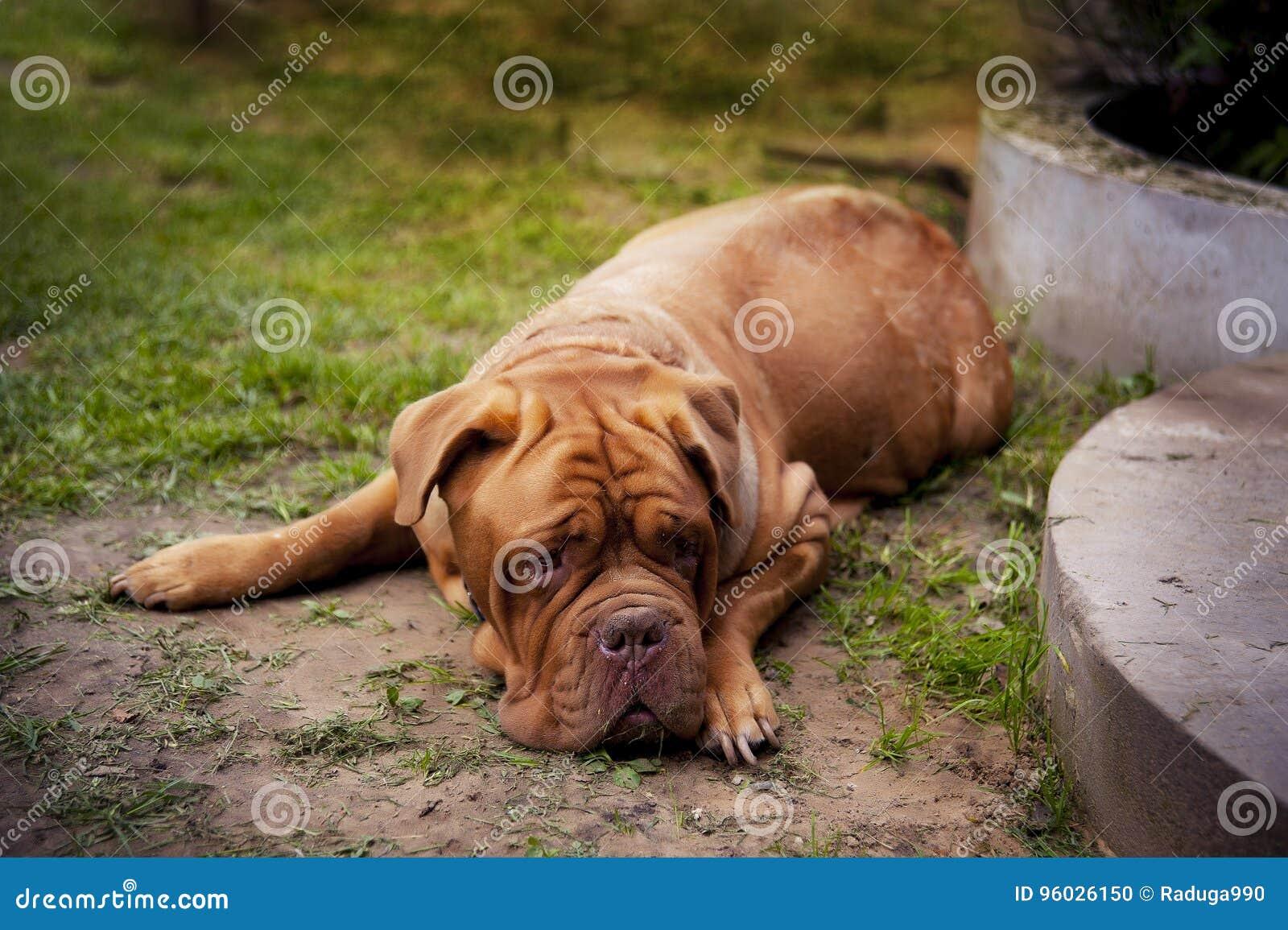 Dogue De Bordo lying on the beach w lecie