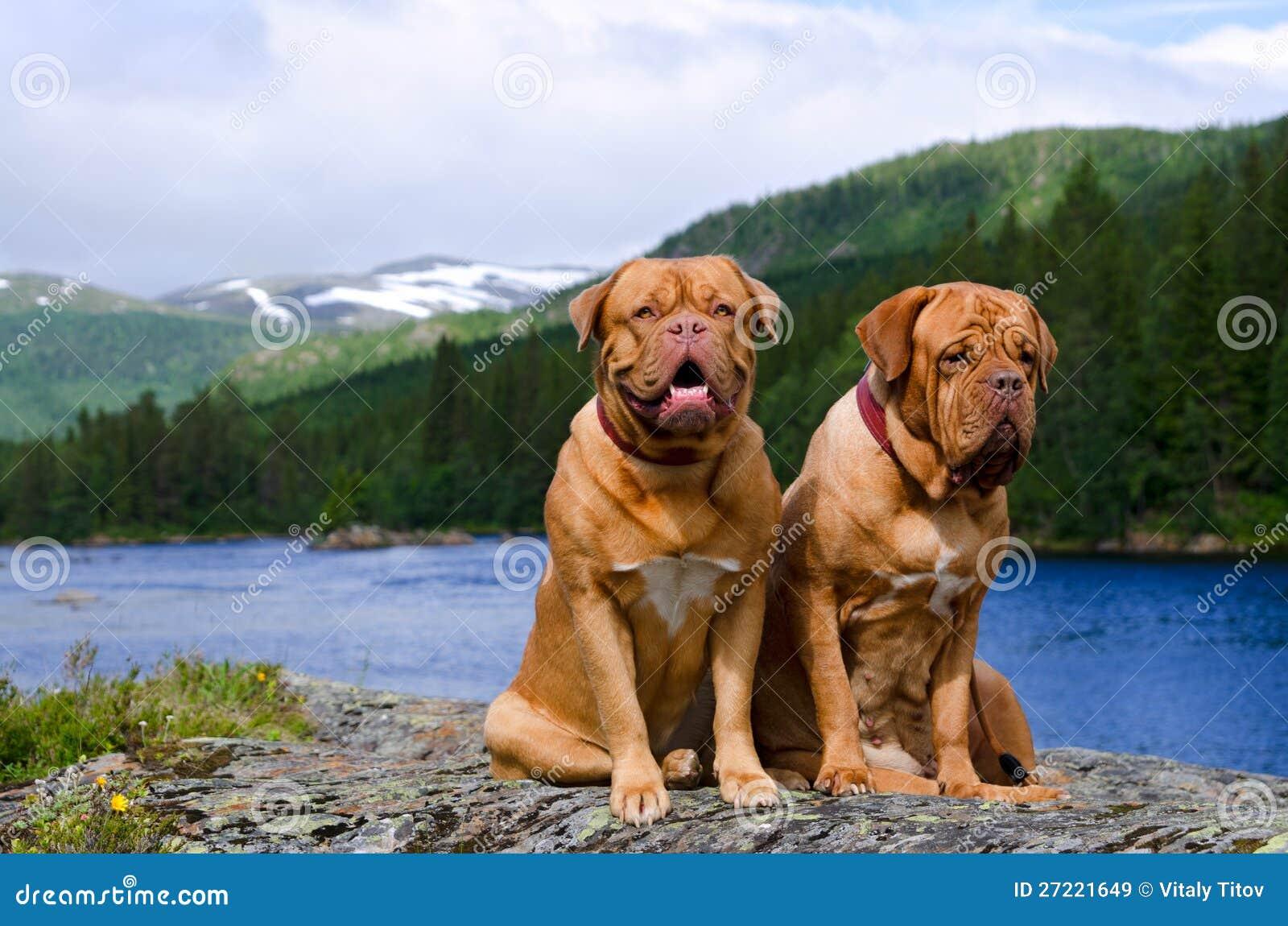 Dogues DE Bordeaux tegen landschap Norvegian