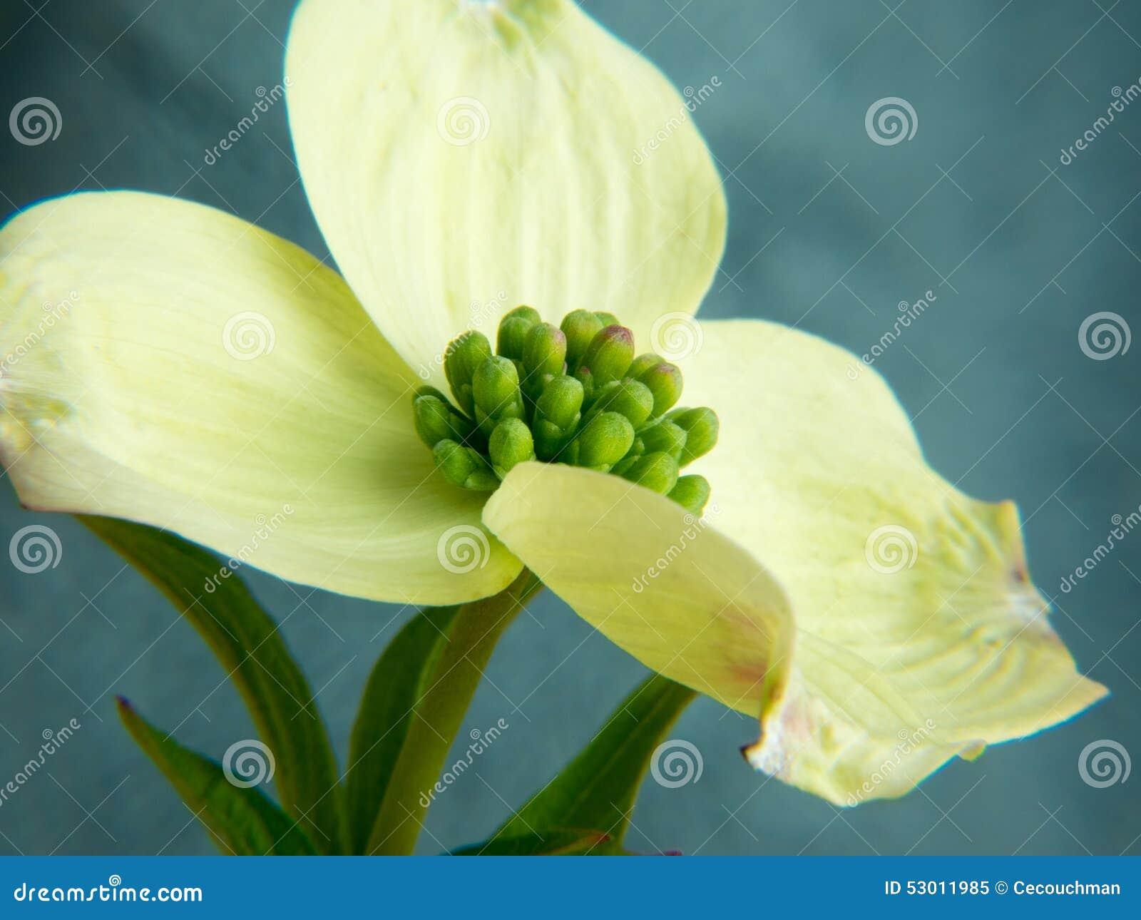 Dogwood Blossom Closeup