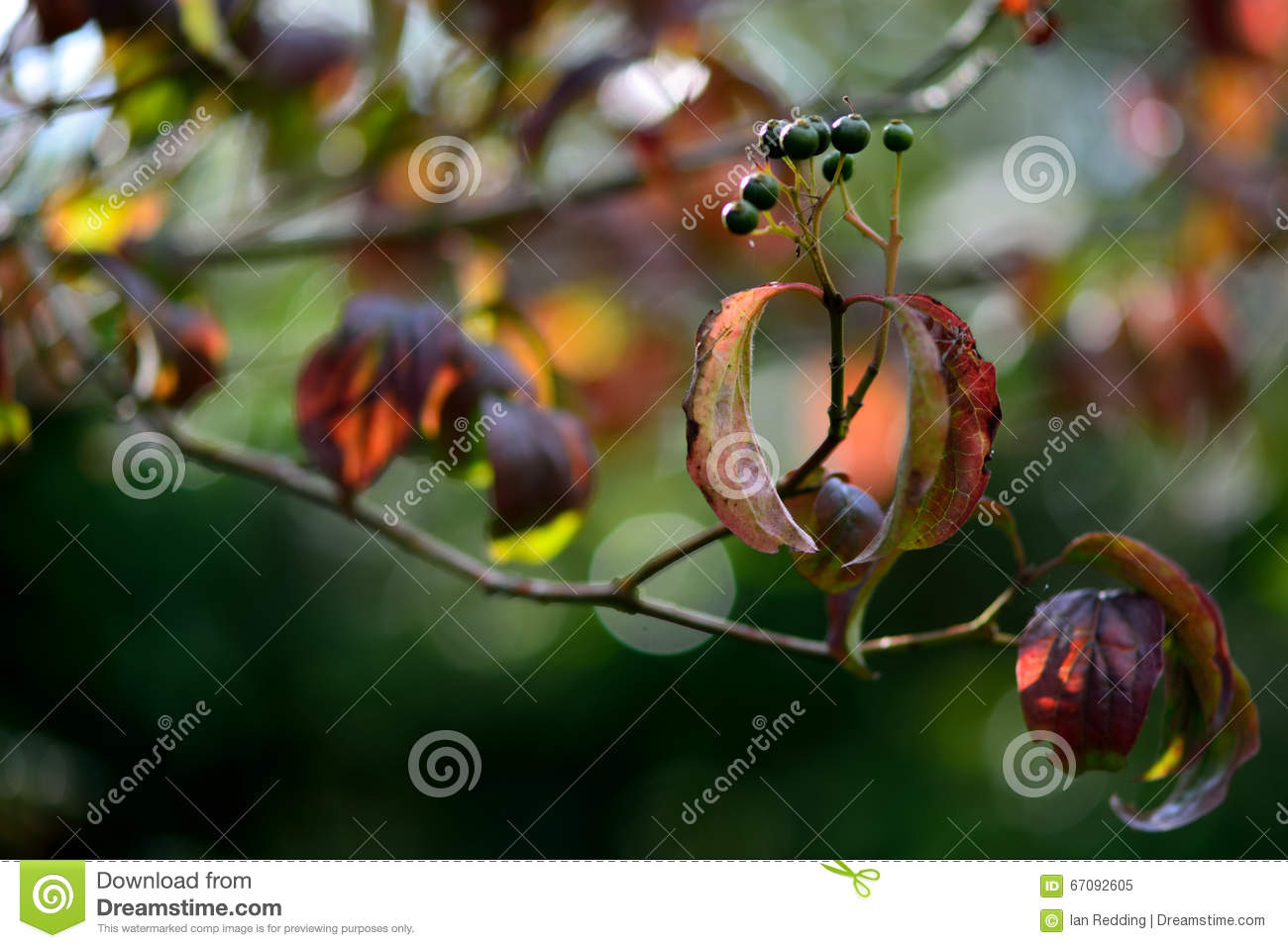Dogwood (Cornus sanguinea) stock image  Image of hedgerow - 67092605