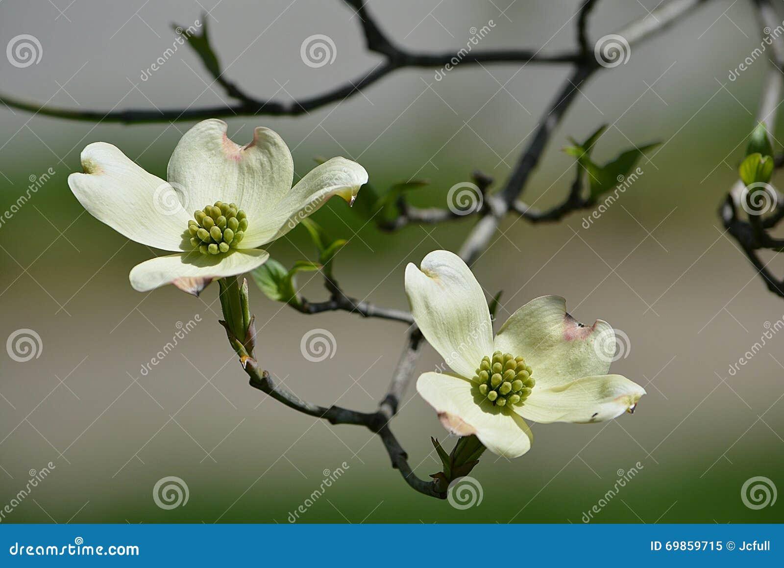 Dogwood de florescência branco