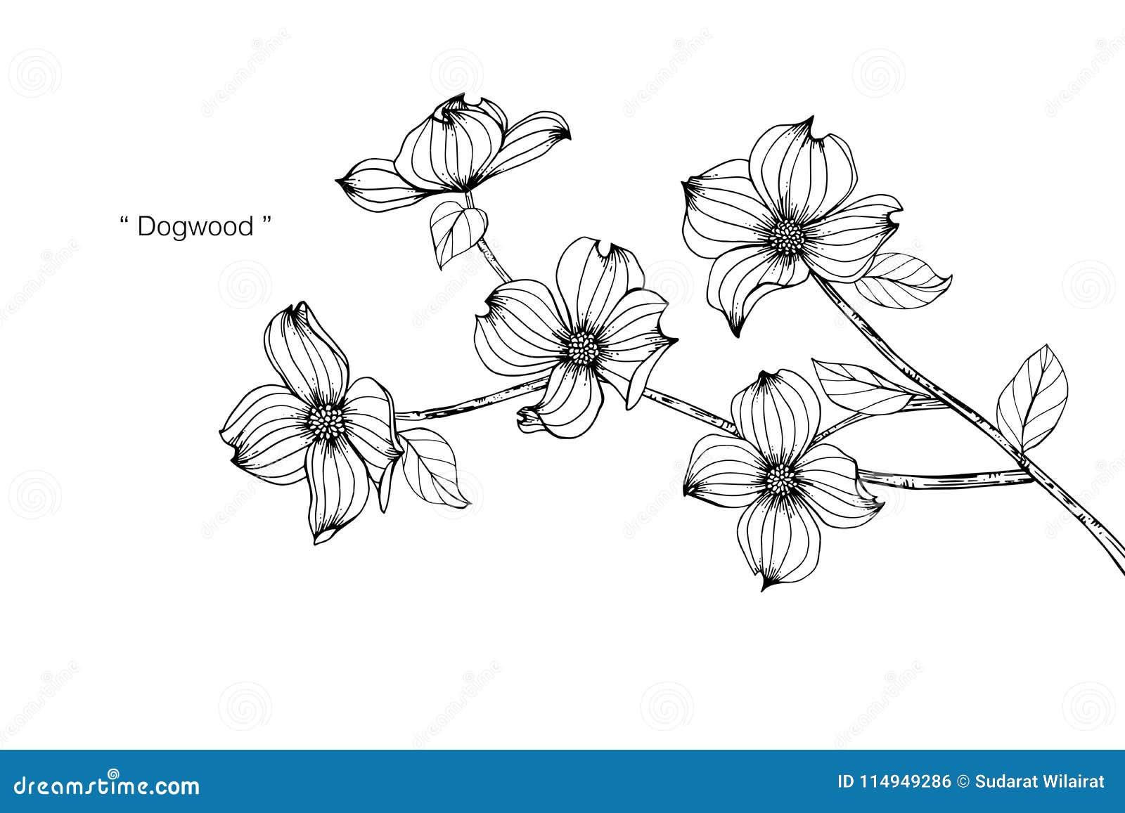 Dogwood flower drawing illustration black and white with line art dogwood flower drawing illustration black and white with line art on white backgrounds mightylinksfo