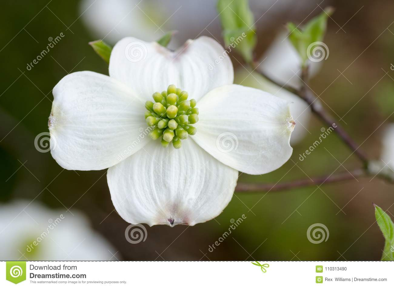 Dogwood flower white macro shot stock photo image of beauty download dogwood flower white macro shot stock photo image of beauty spring 110313490 mightylinksfo