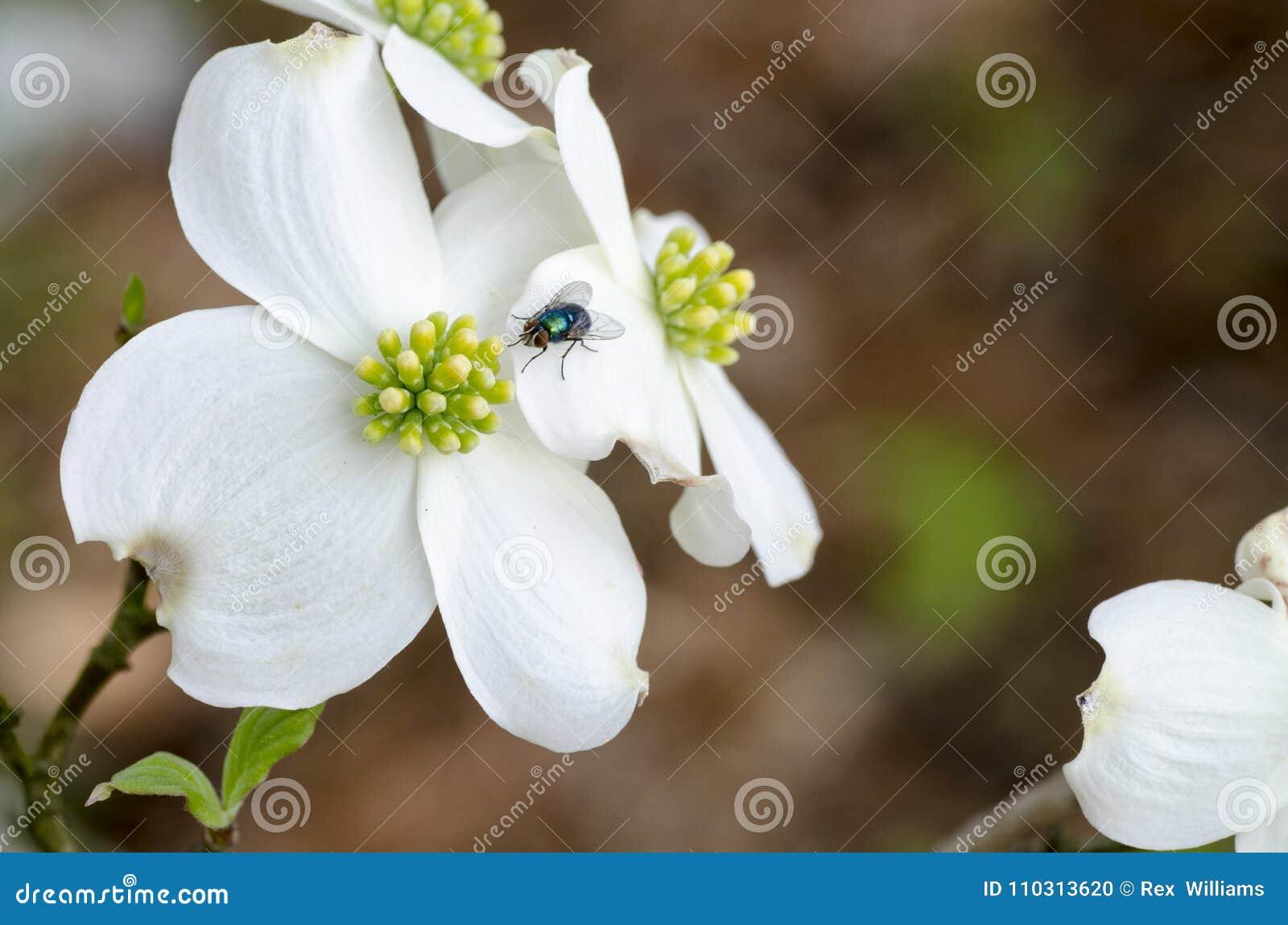 Dogwood Flower White Macro Shot Stock Photo Image Of Blossom