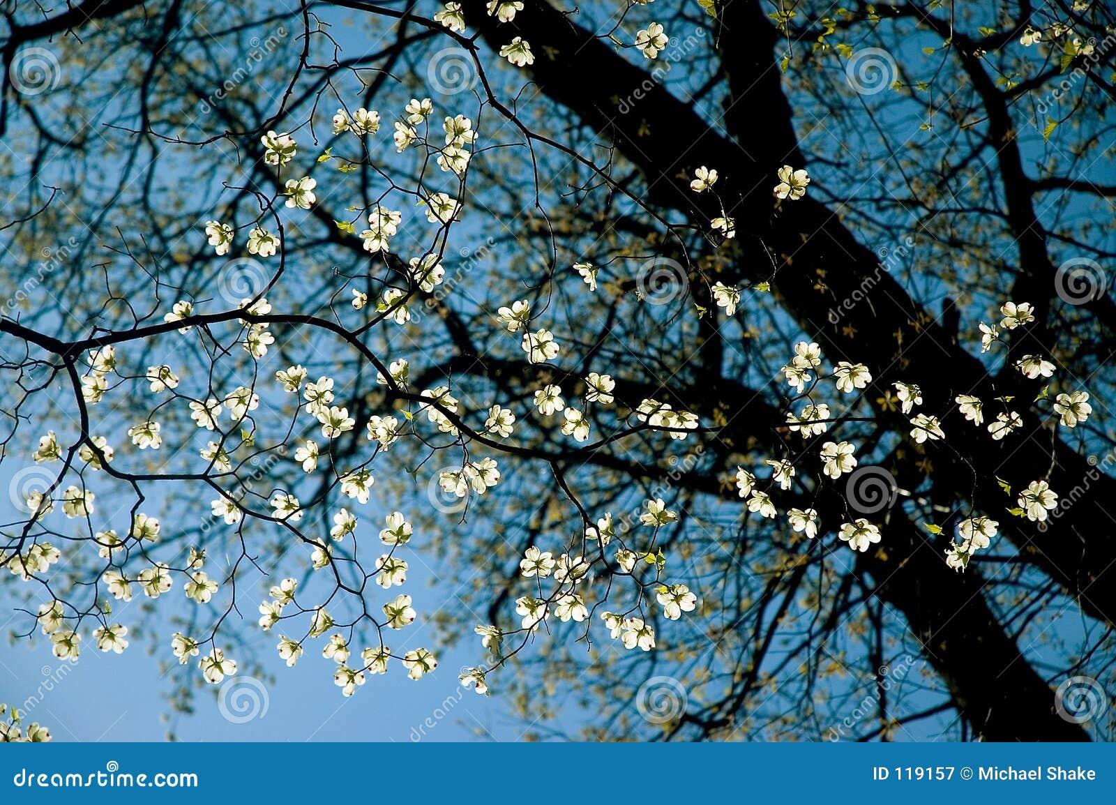 Dogwood Tree Close-Up