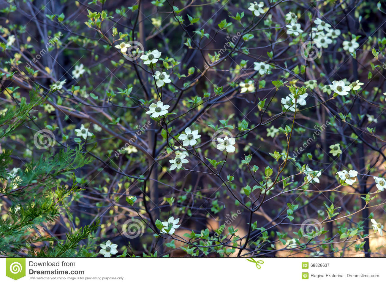 Dogwood Tree With Flowers In Spring Time Stock Image Image Of