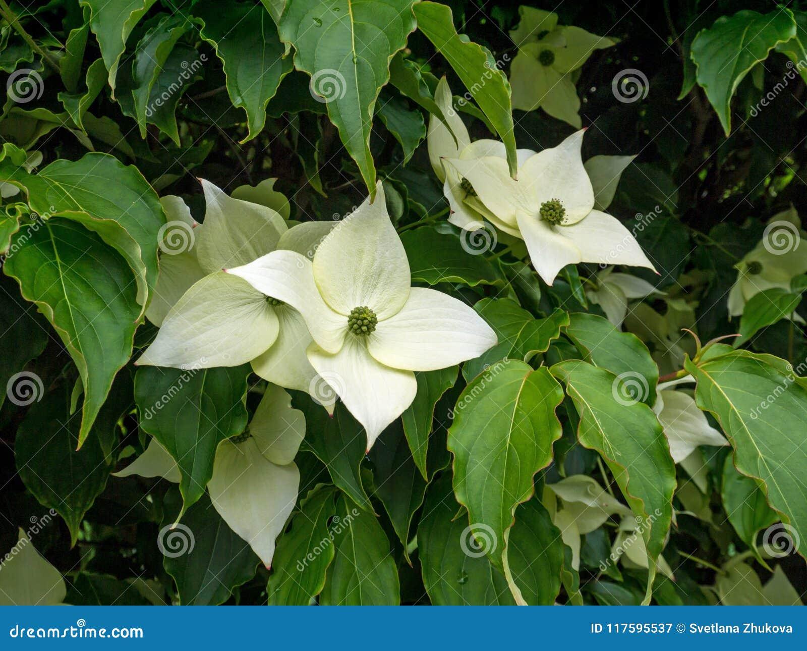 Dogwood Tree White Four Petal Flowers Stock Image Image Of