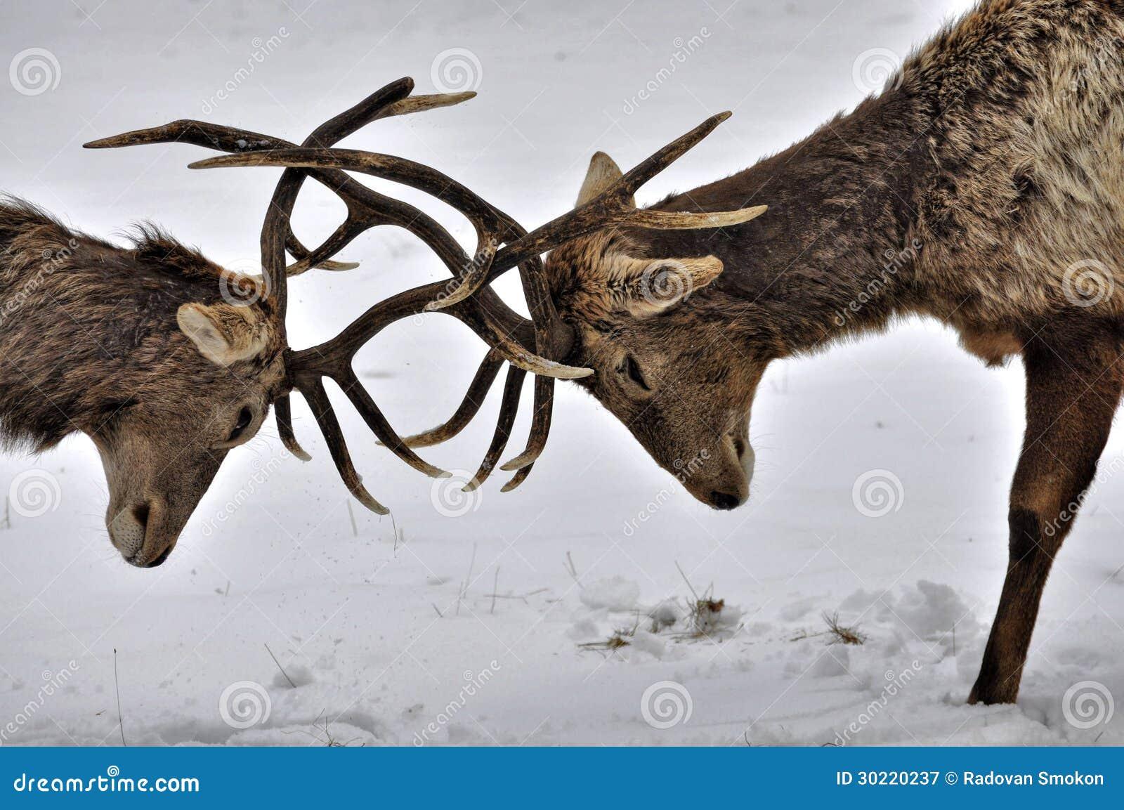 Cervos de combate