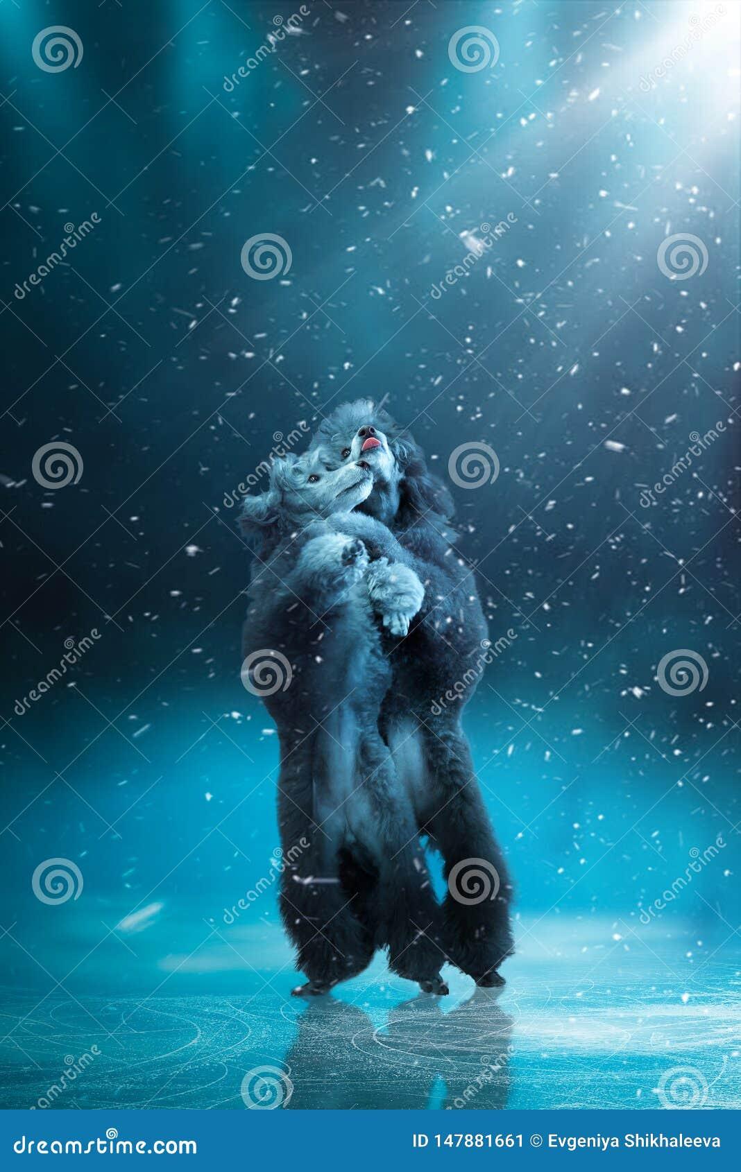 Dois cães da caniche da raça que dançam eficazmente no gelo