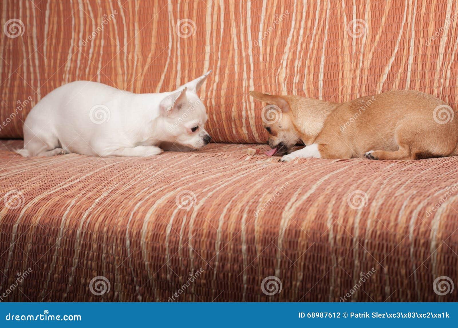 Dois cães da chihuahua que encontram-se no sofá com deleite em borracha