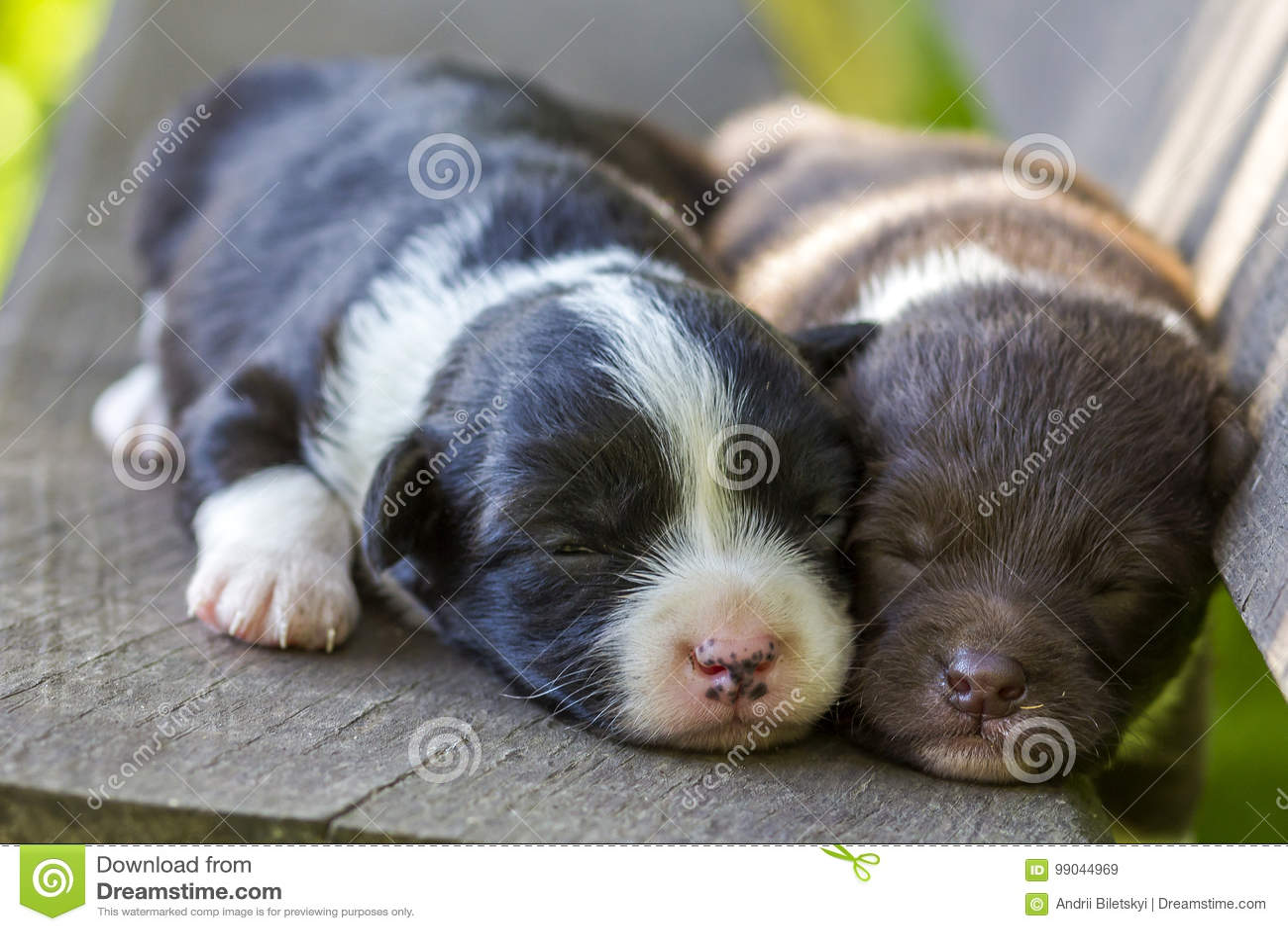 Dois cães de cachorrinho pequenos que dormem no banco de madeira