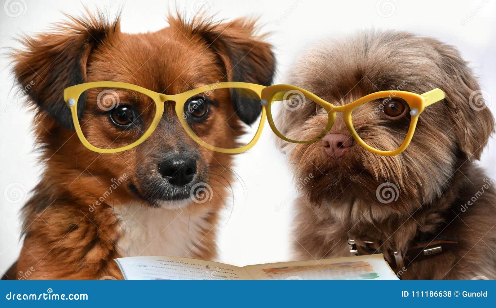 Dois cães de cachorrinho pequenos que leem um livro