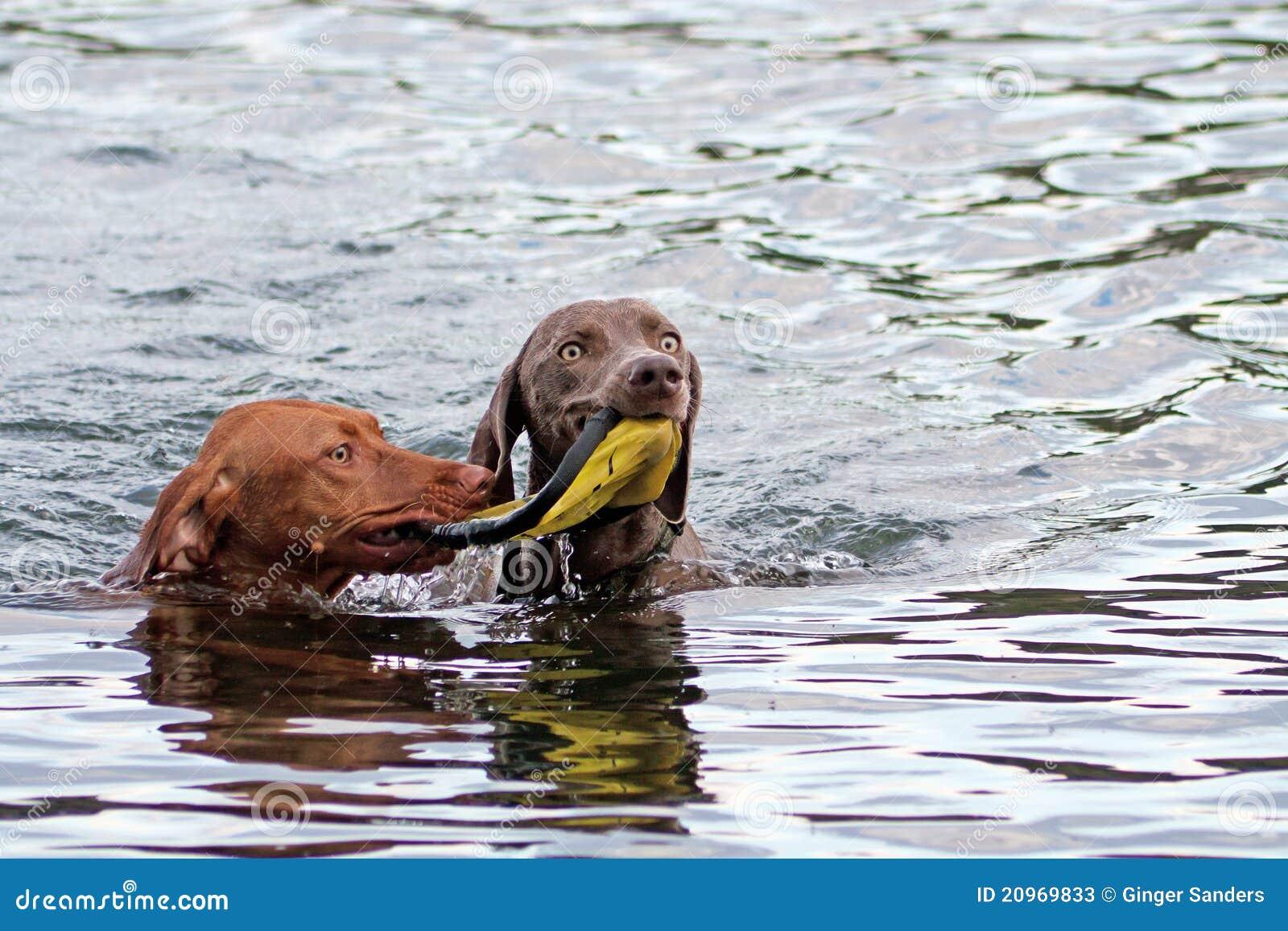 Dois cães que compartilham de um brinquedo na água
