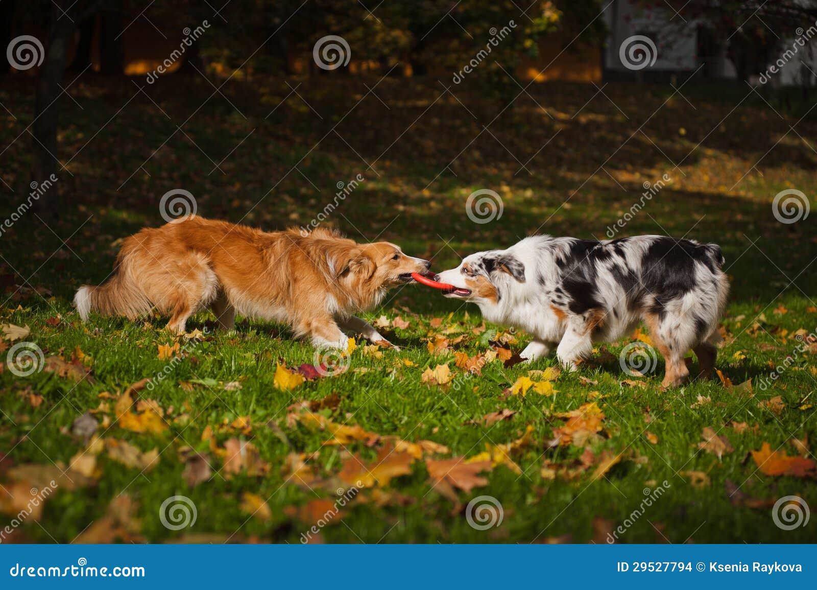 Dois cães que jogam com um brinquedo junto