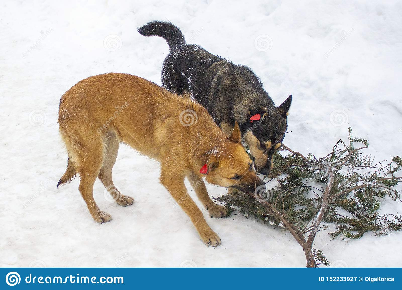 Dois cães, vermelho e preto, roem um ramo do abeto no inverno Cães com as microplaquetas em suas orelhas, animais lascados transp