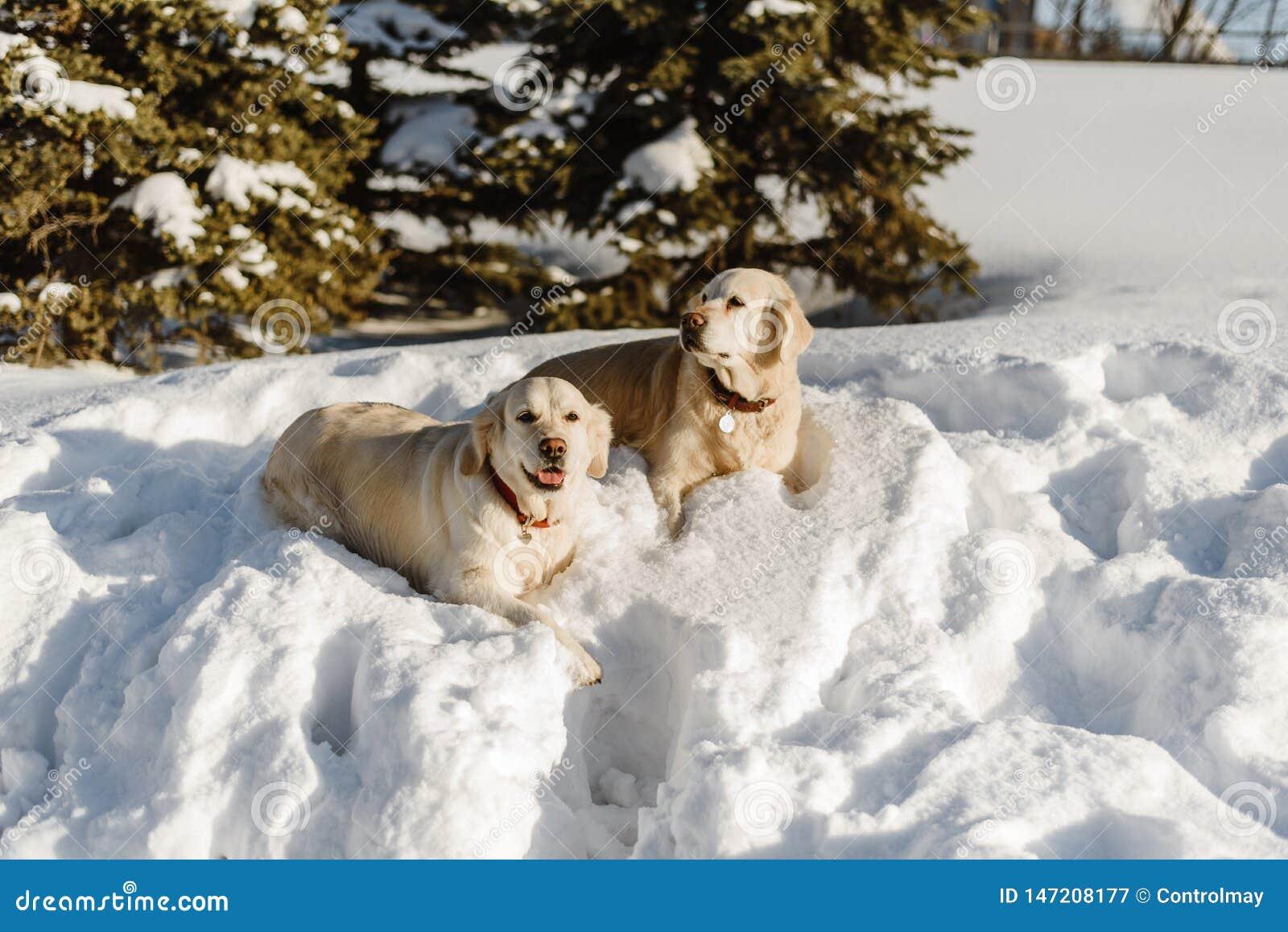 Dois c?es de Labrador na neve