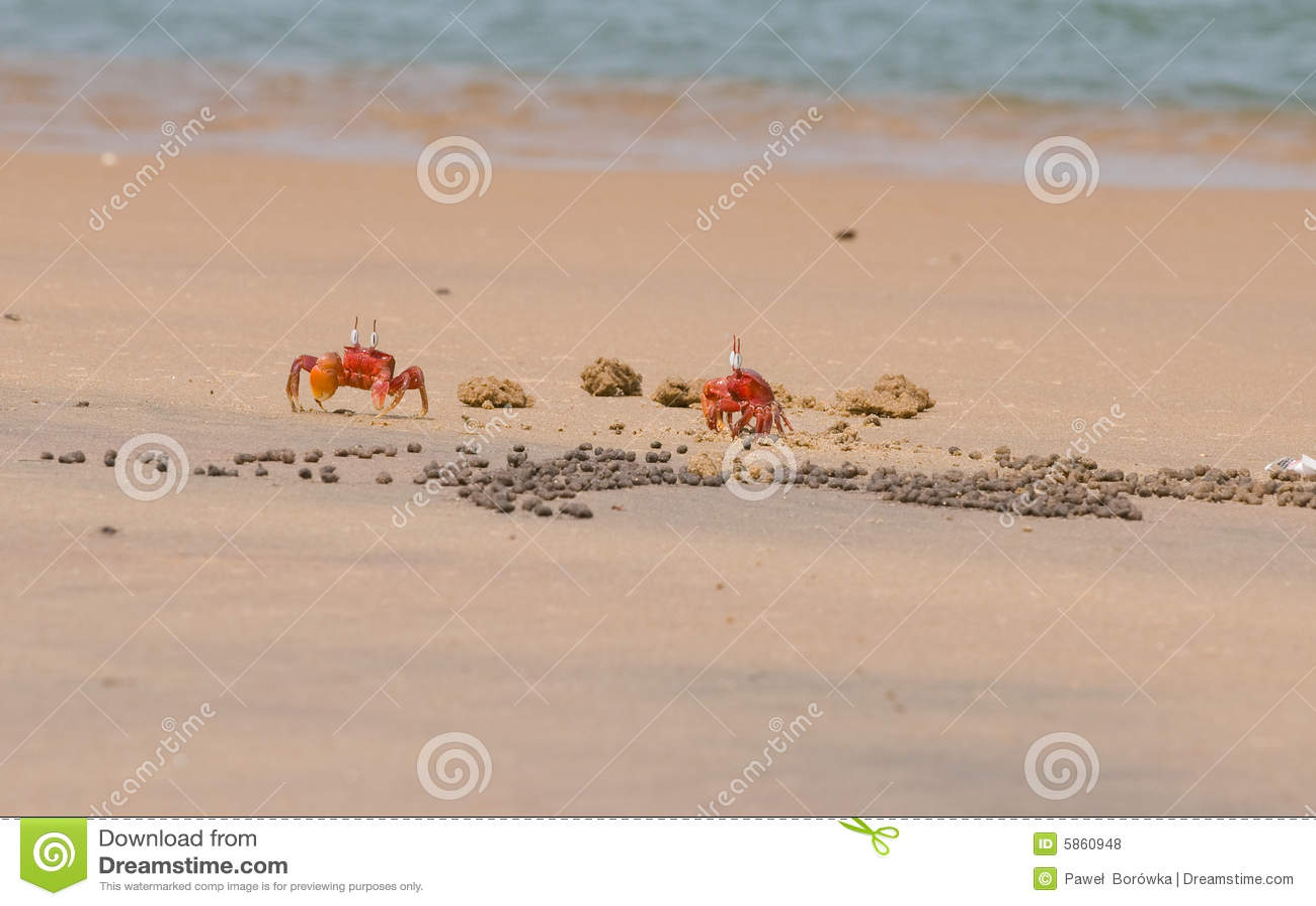 Dois caranguejos vermelhos