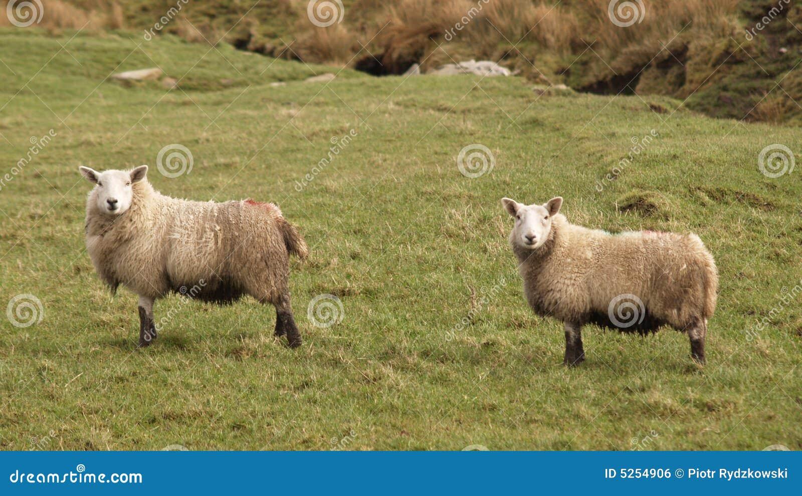 Dois carneiros
