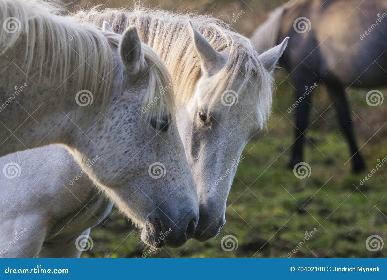 Dois cavalos brancos que tocam nas cabeças, Irlanda