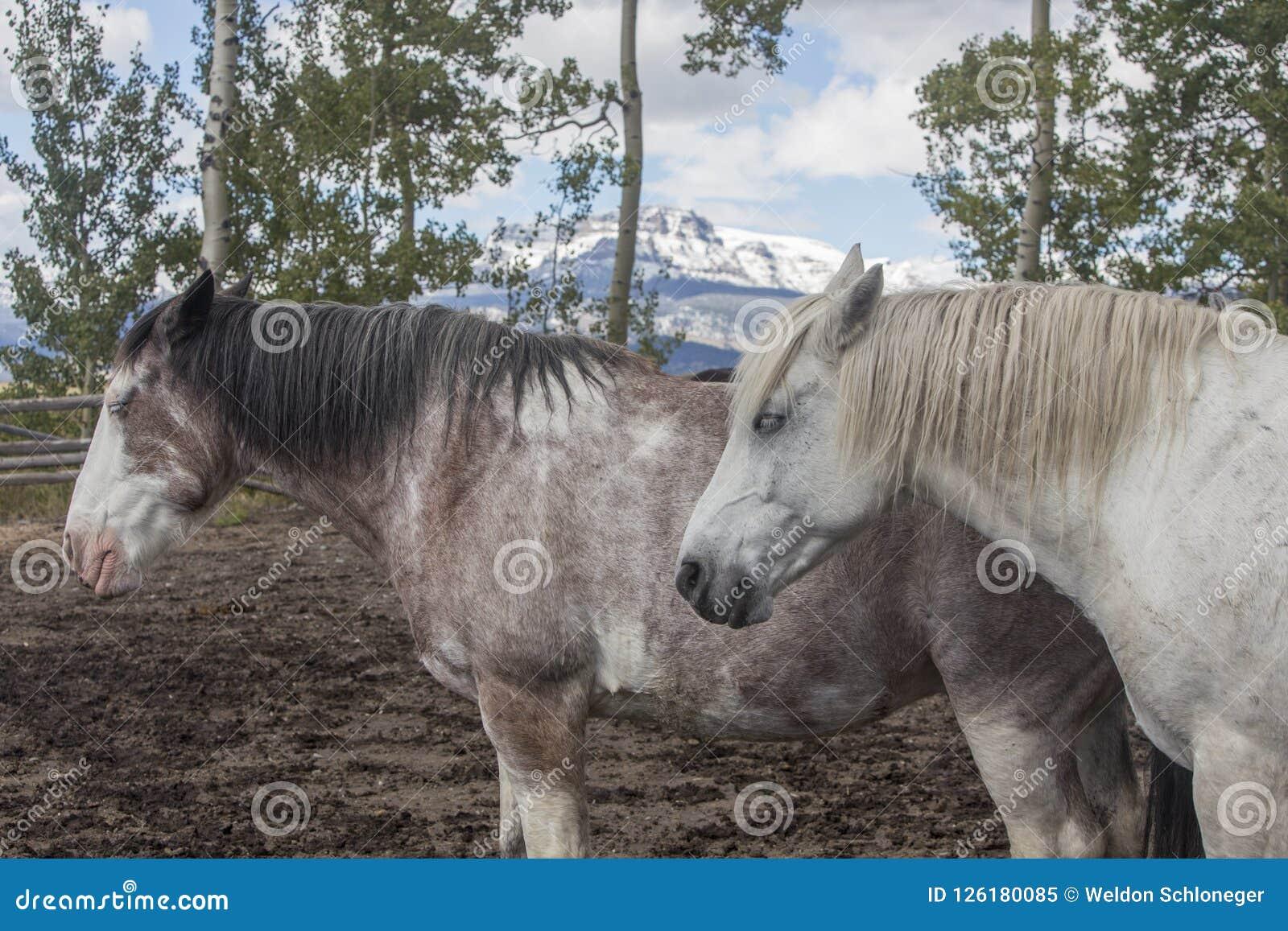 Dois cavalos do rancho de Wyoming na cerca