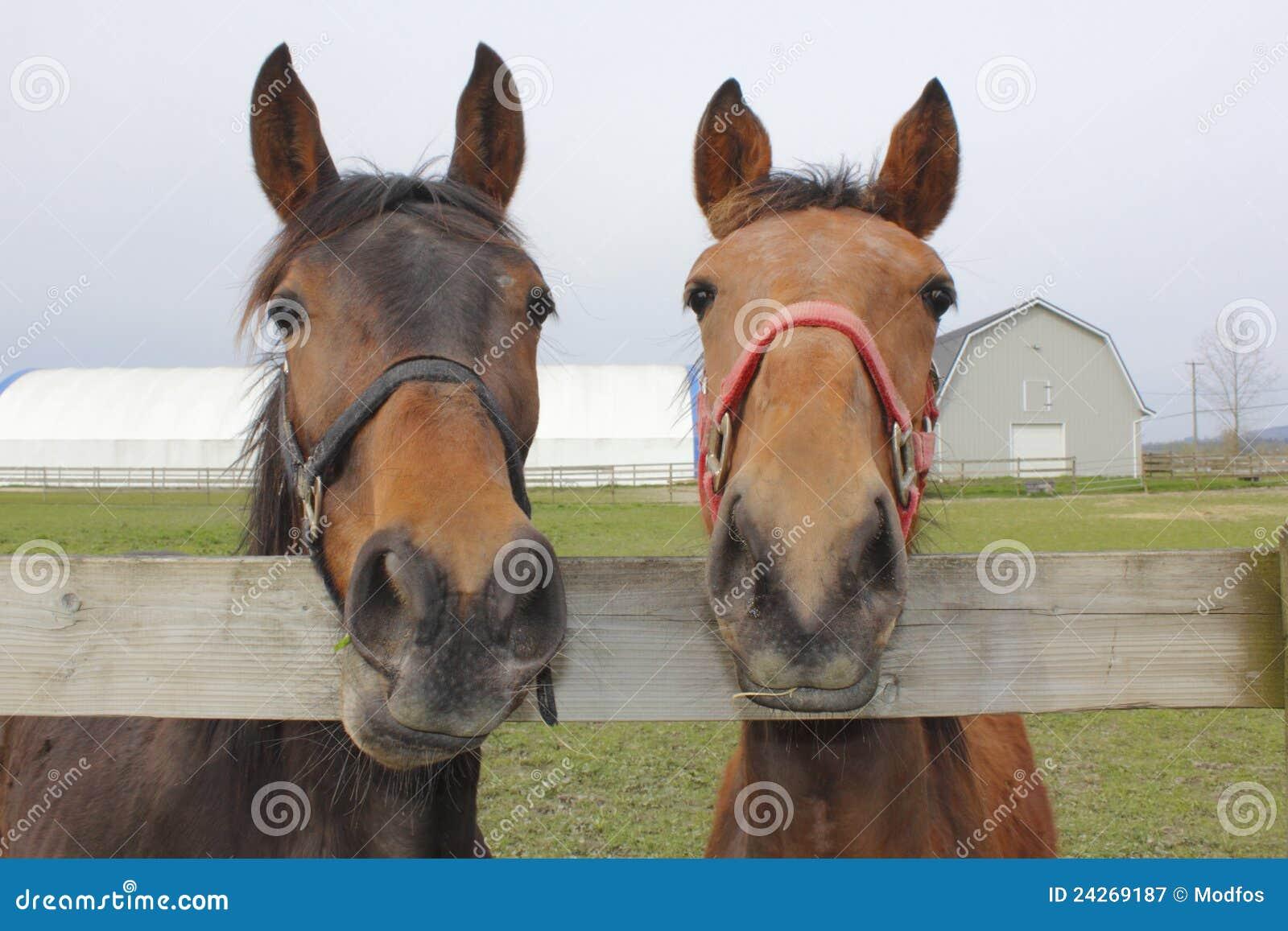 Dois cavalos em uma cerca