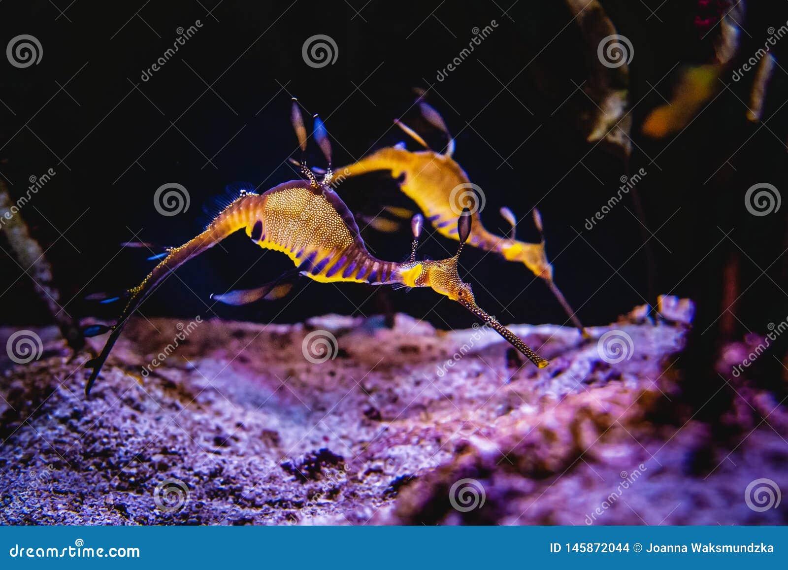 Dois cavalos marinhos que nadam em um recife de corais e que procuram o alimento no fundo do mar