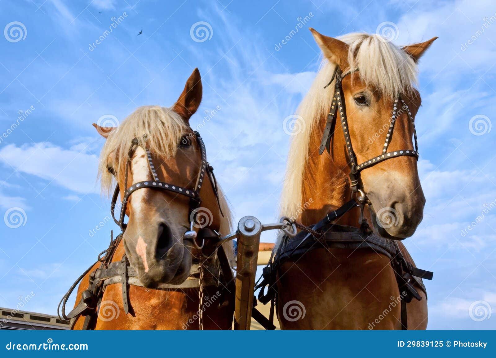 Dois cavalos na cidade