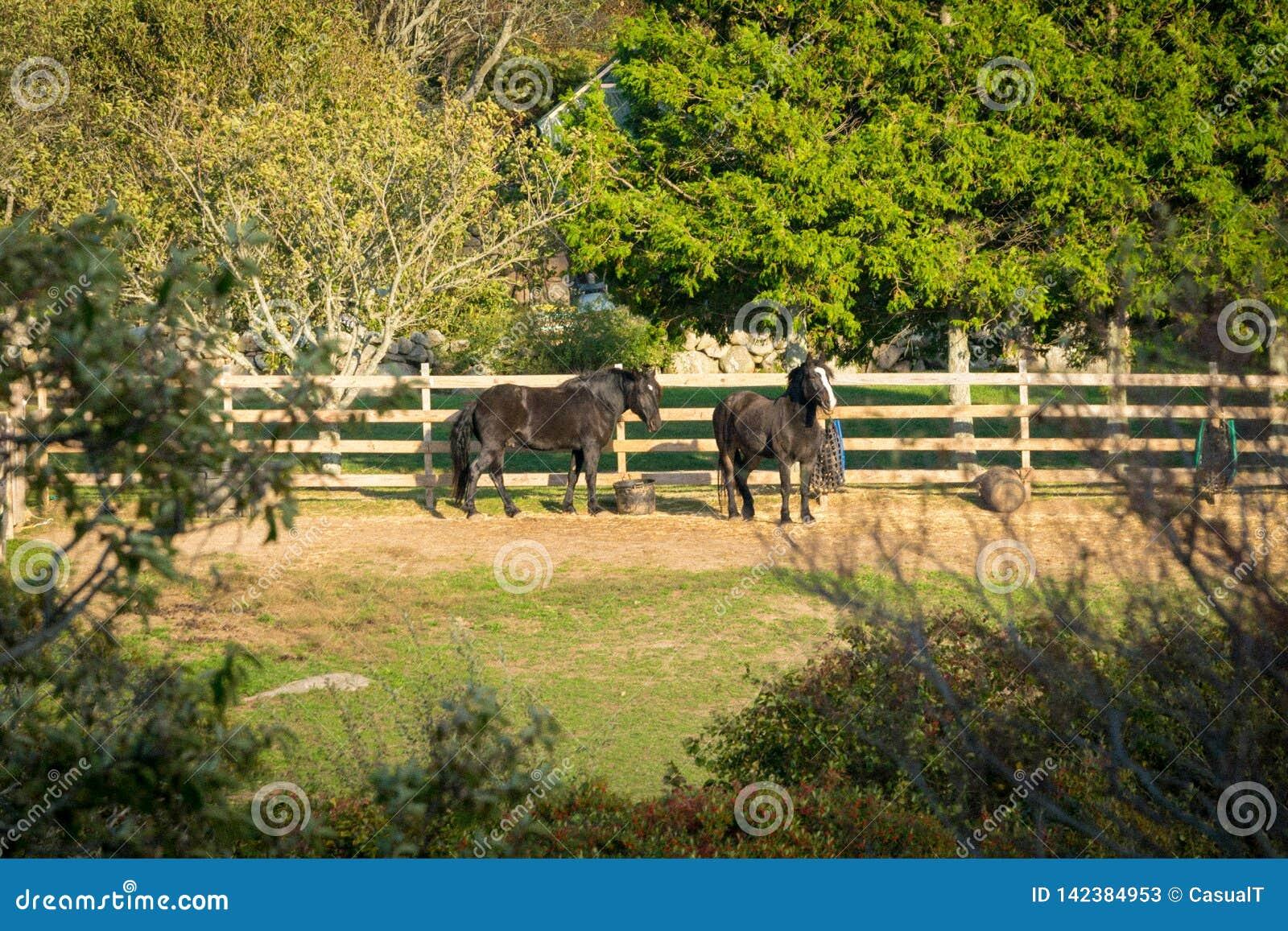 Dois cavalos pretos bonitos, relaxando no seu cercar-na cerca, entre árvores, arbustos, e abundância da grama, em um morno