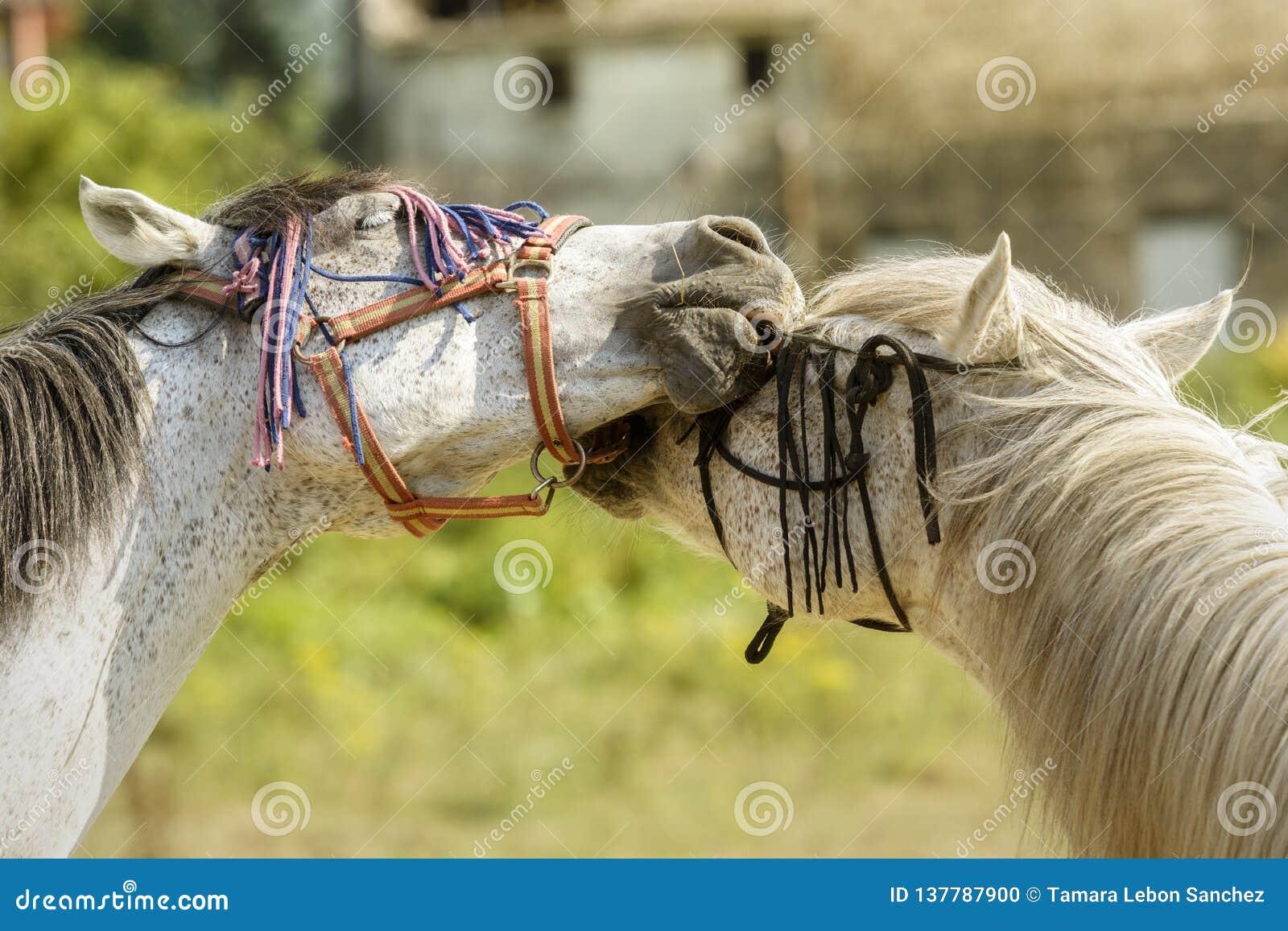 Dois cavalos que jogam com seus freios