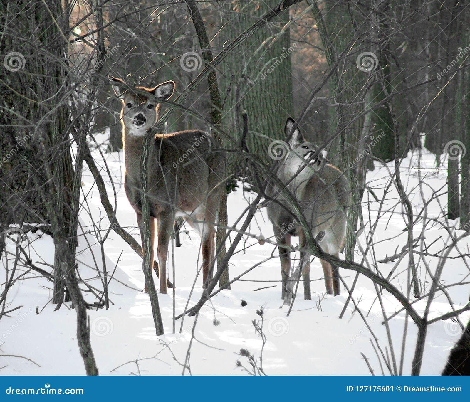 Dois cervos curiosos na neve na forja do vale