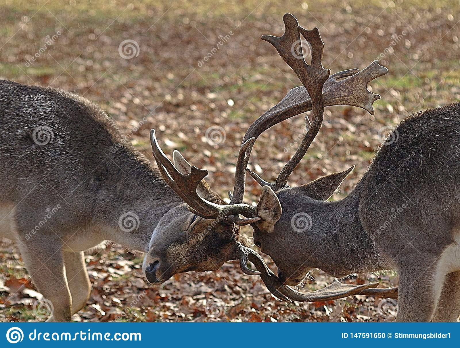 Dois cervos masculinos que lutam com seus chifres