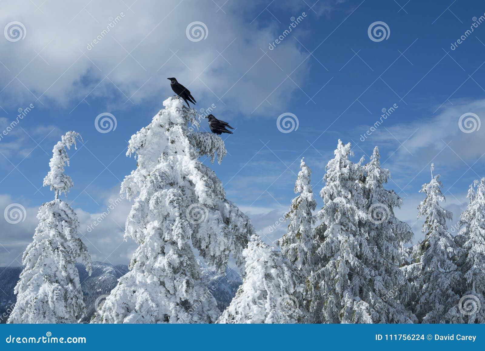 Dois corvos ou corvos pretos em árvores cobertos de neve na cena do inverno sobre a montanha do cão na montagem Seymour