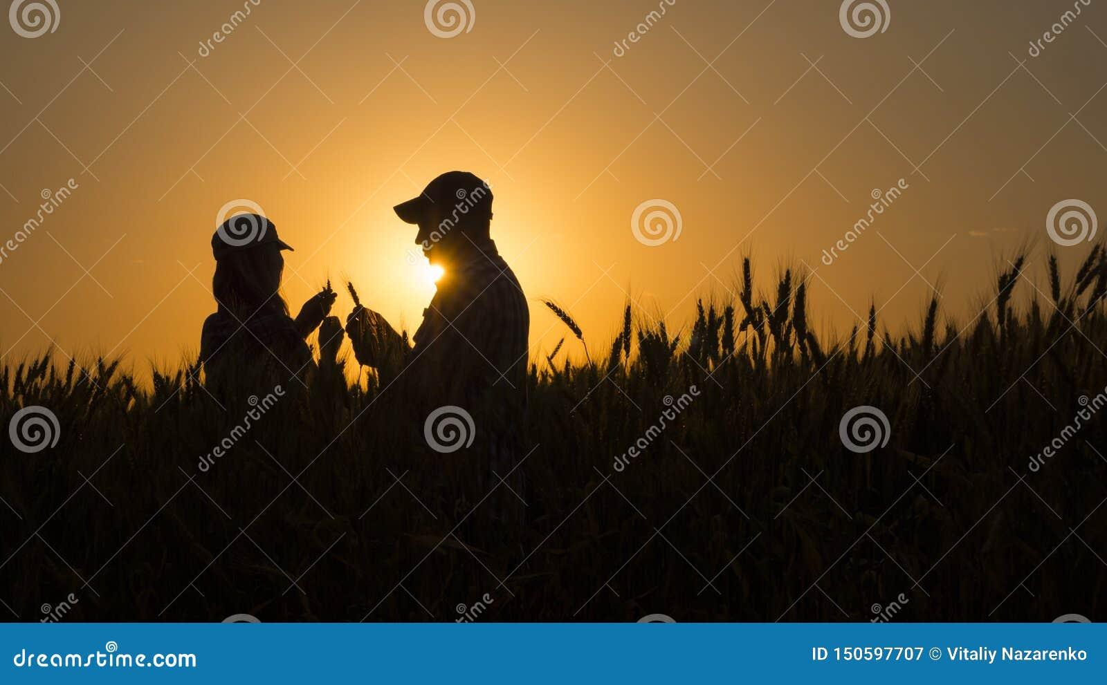 Dois cultivadores da grão que trabalham em um campo de trigo no por do sol