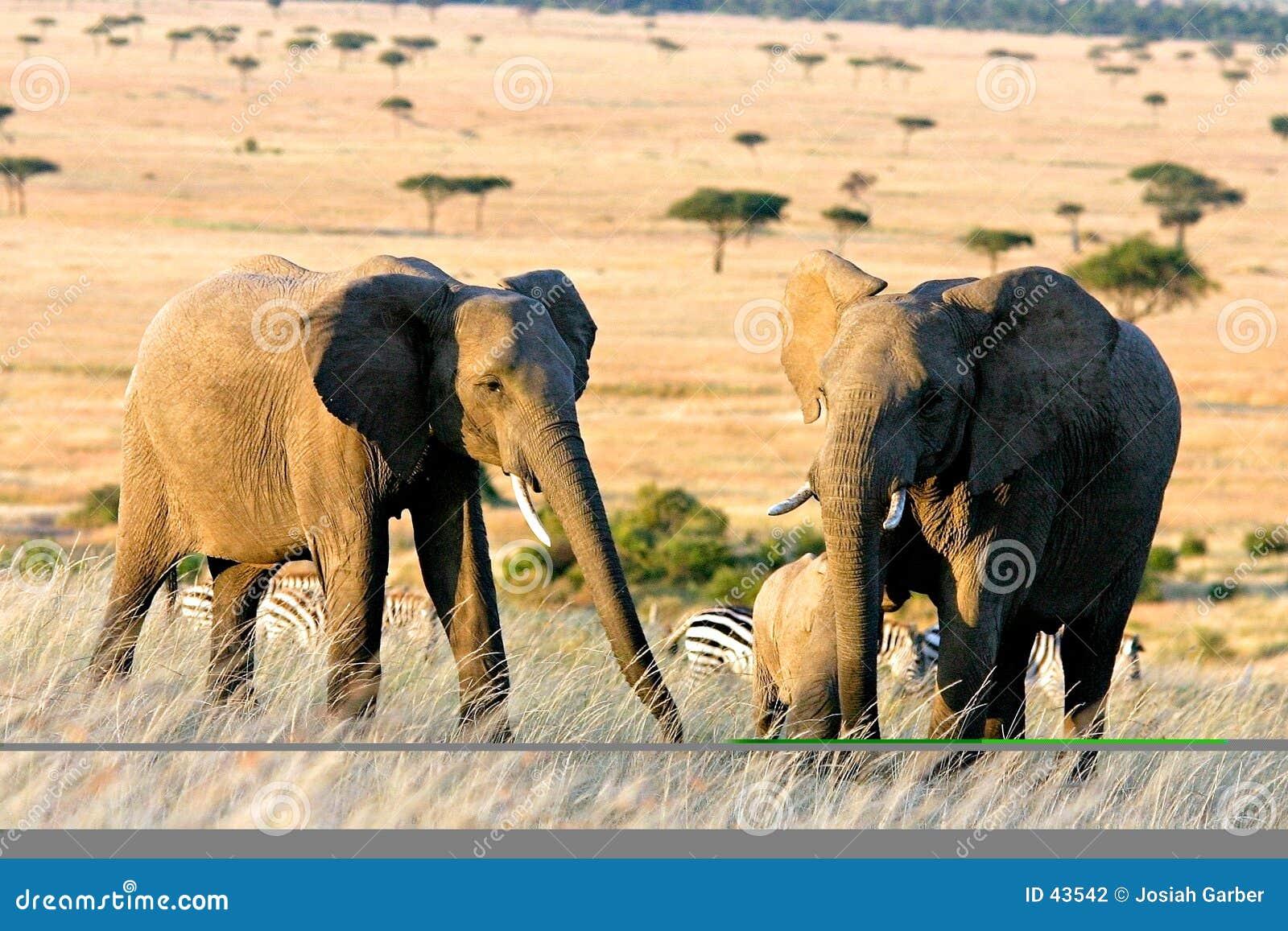 Dois elefantes em África