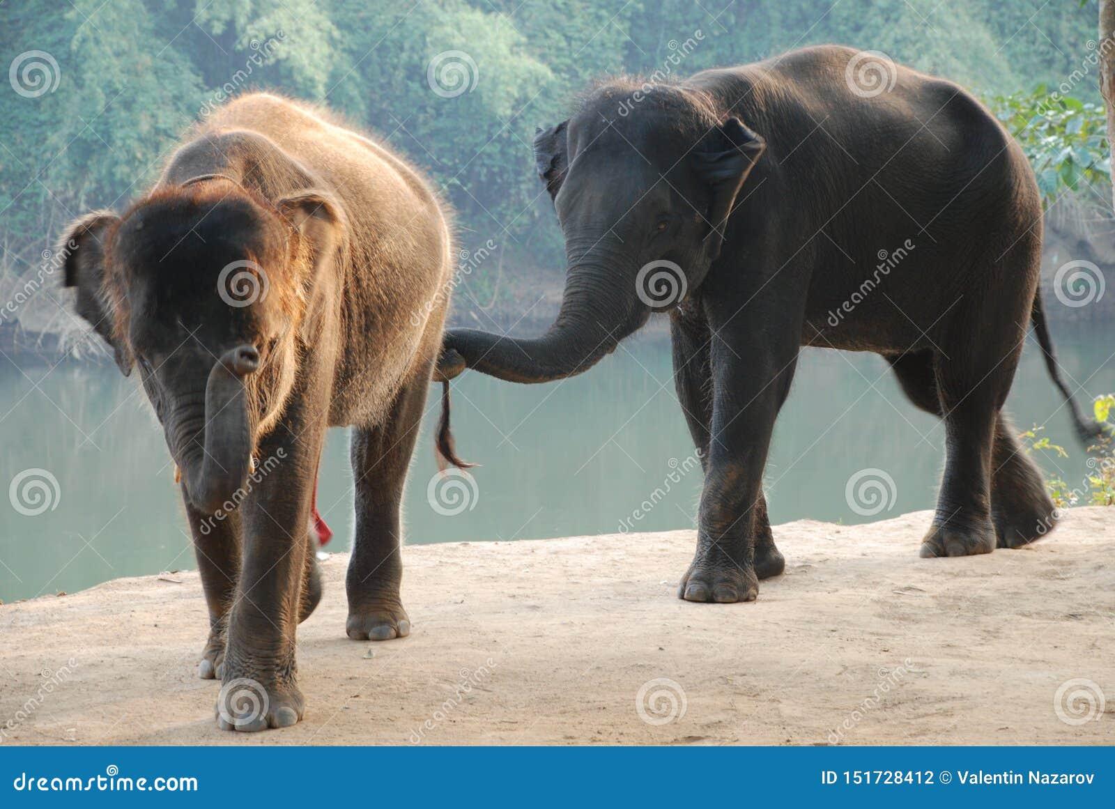 Dois elefantes vão balançar seus troncos e sorrir em você