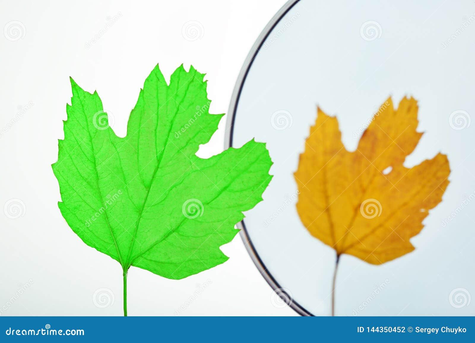 Dois estações, molas e outonos Conceito humano do envelhecimento Licença verde que olha no mirro