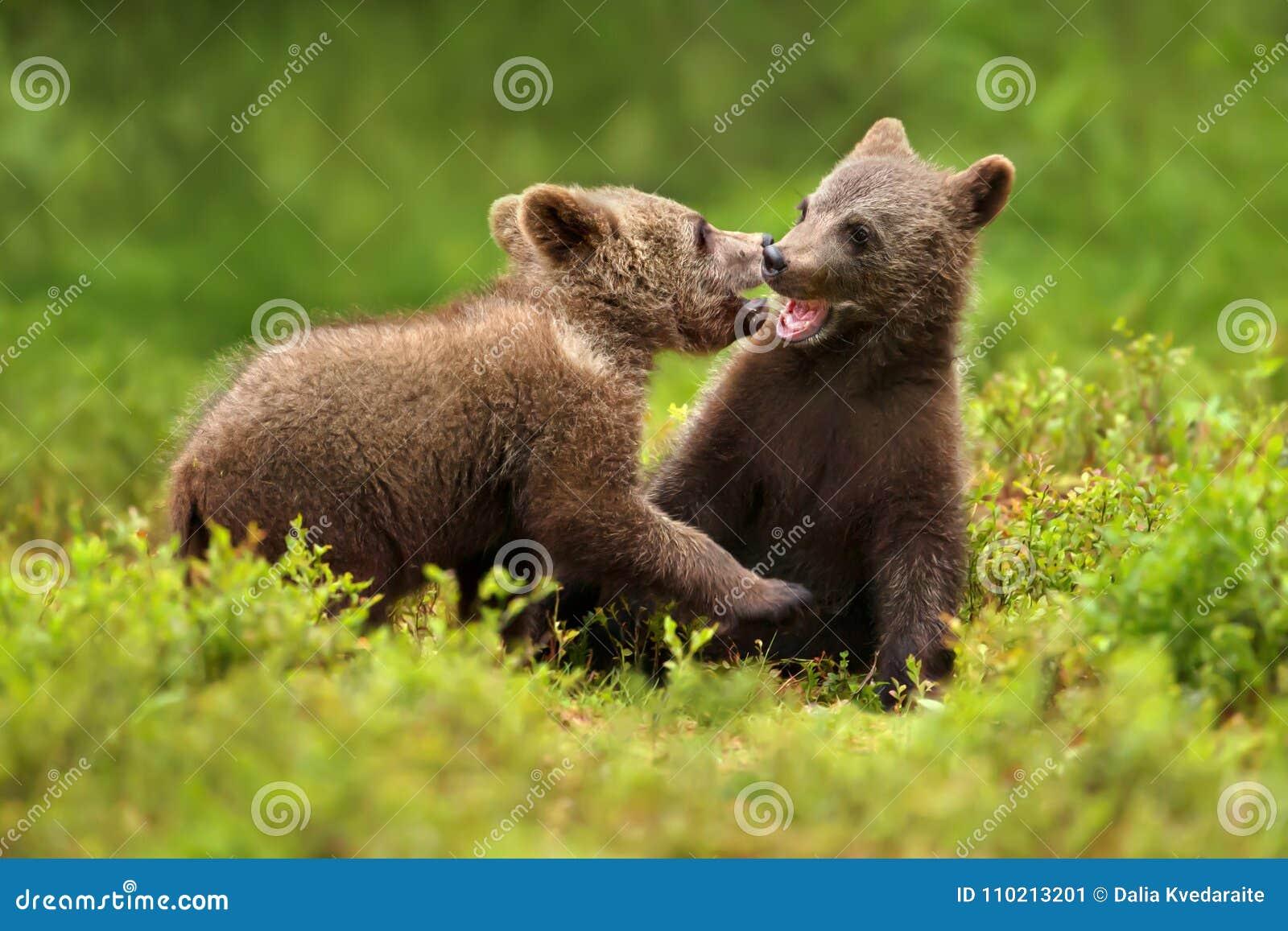 Dois filhotes de urso marrom jogam a luta na floresta