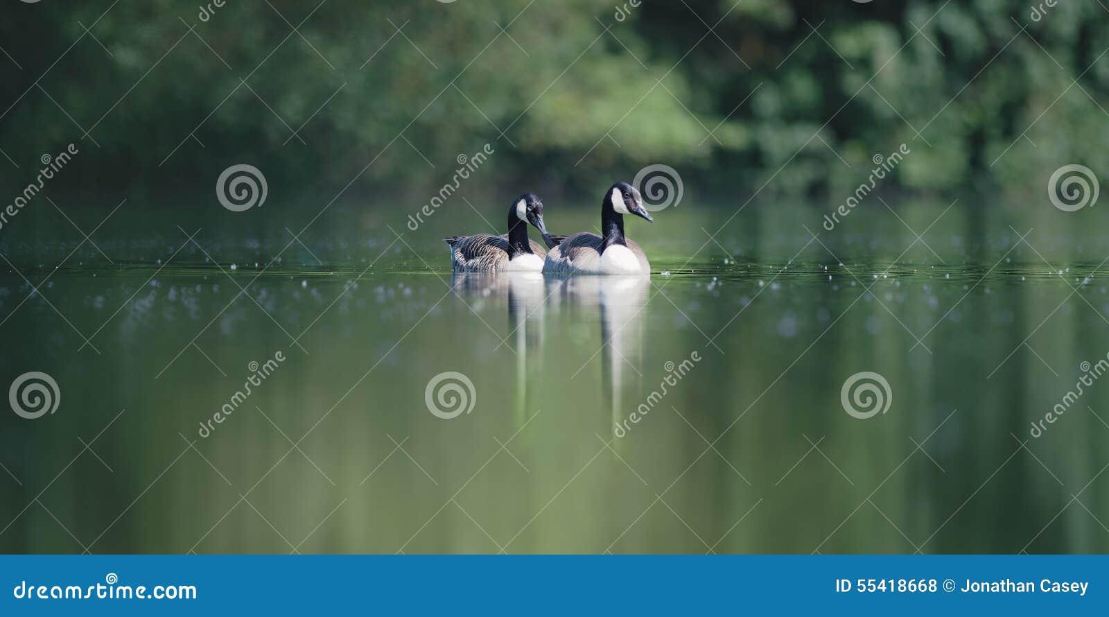 Dois gansos de Canadá em um lago