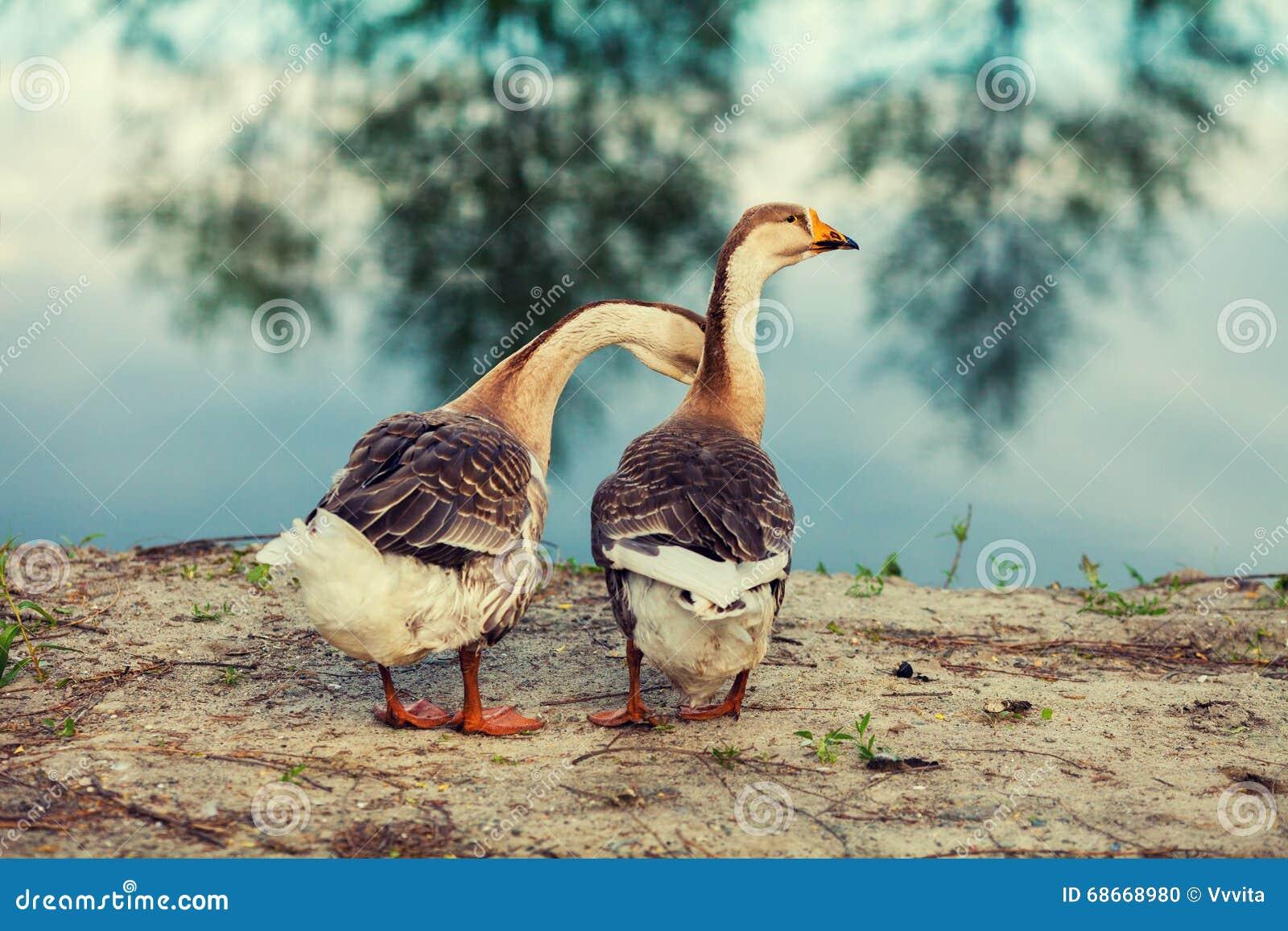 Dois gansos no lago