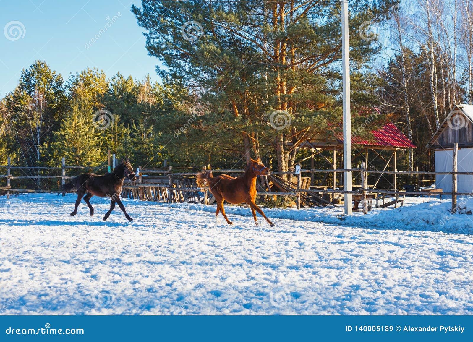 Dois garanhões árabes pretos e vermelhos novos correm o galope ao longo da terra de parada Está nevando, mas a mola veio