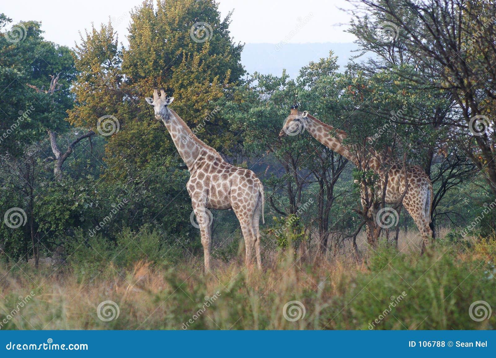 Dois giraffes