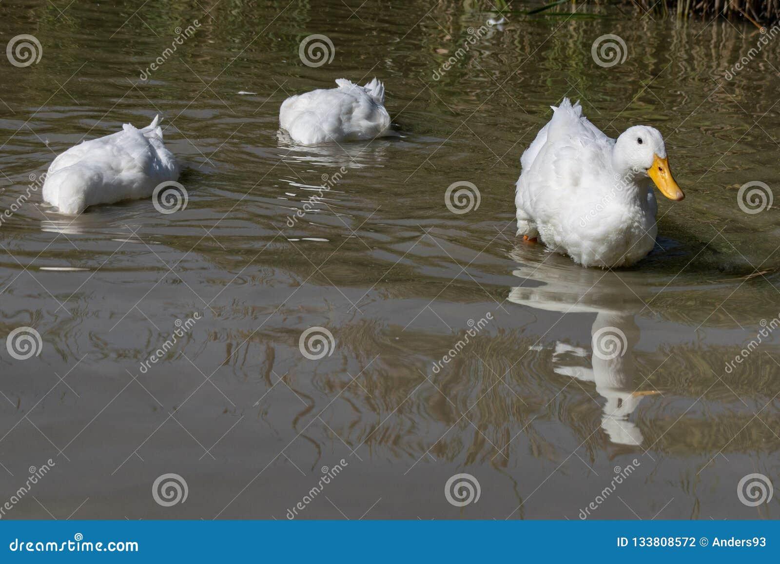 Dois grandes patos brancos de Aylesbury Pekin com cabeça abaixo do SE de superfície