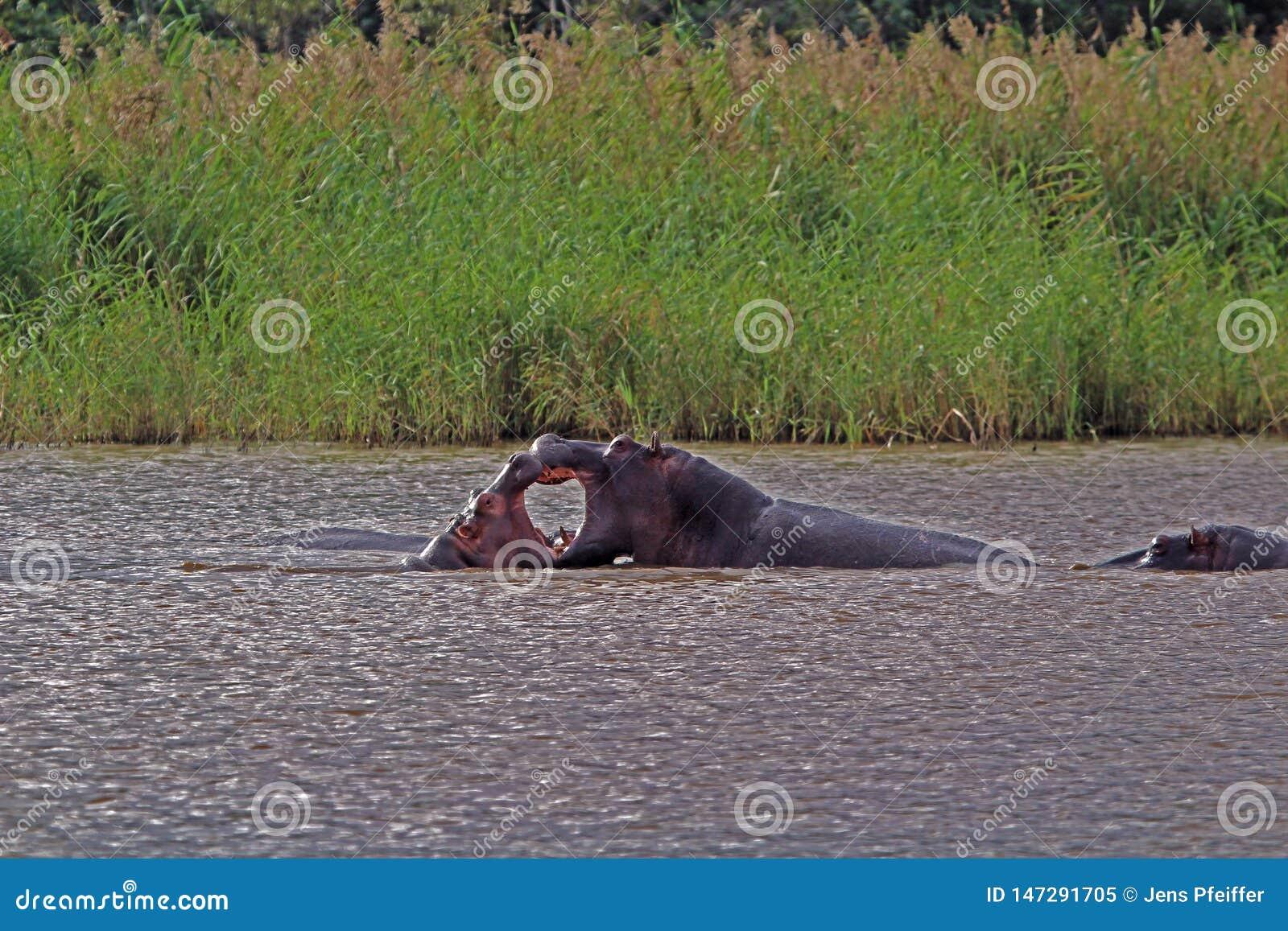 Dois hipopótamos que lutam na água, África do Sul