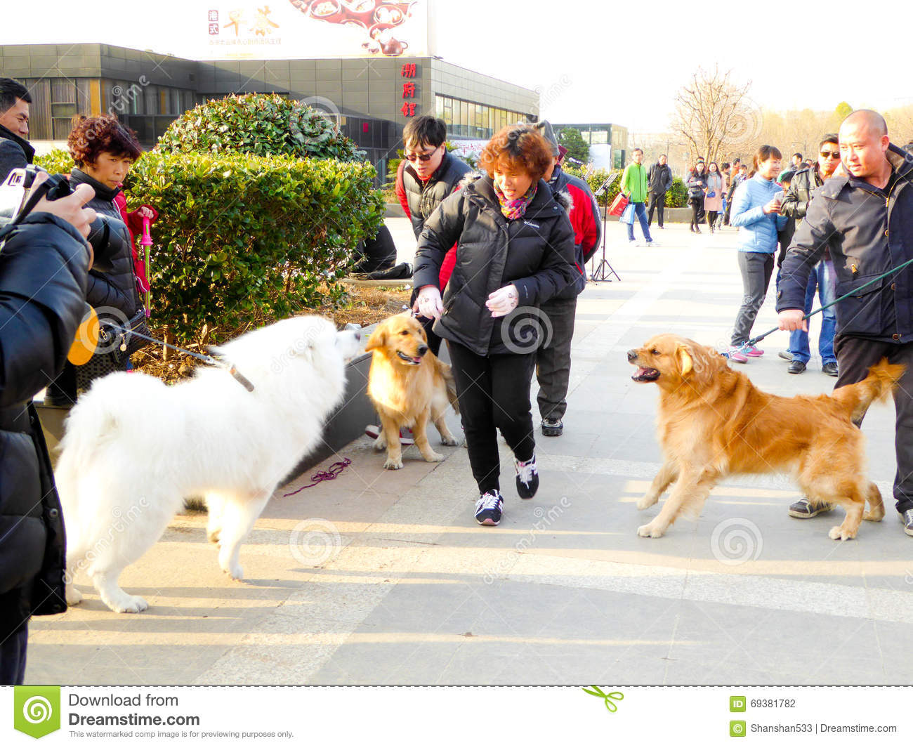 Dois jogos do golden retriever e do Samoye