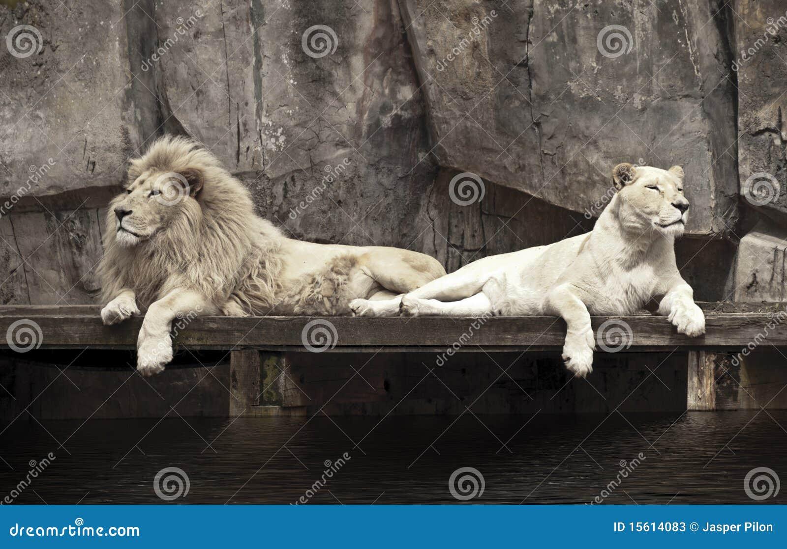 Dois leões