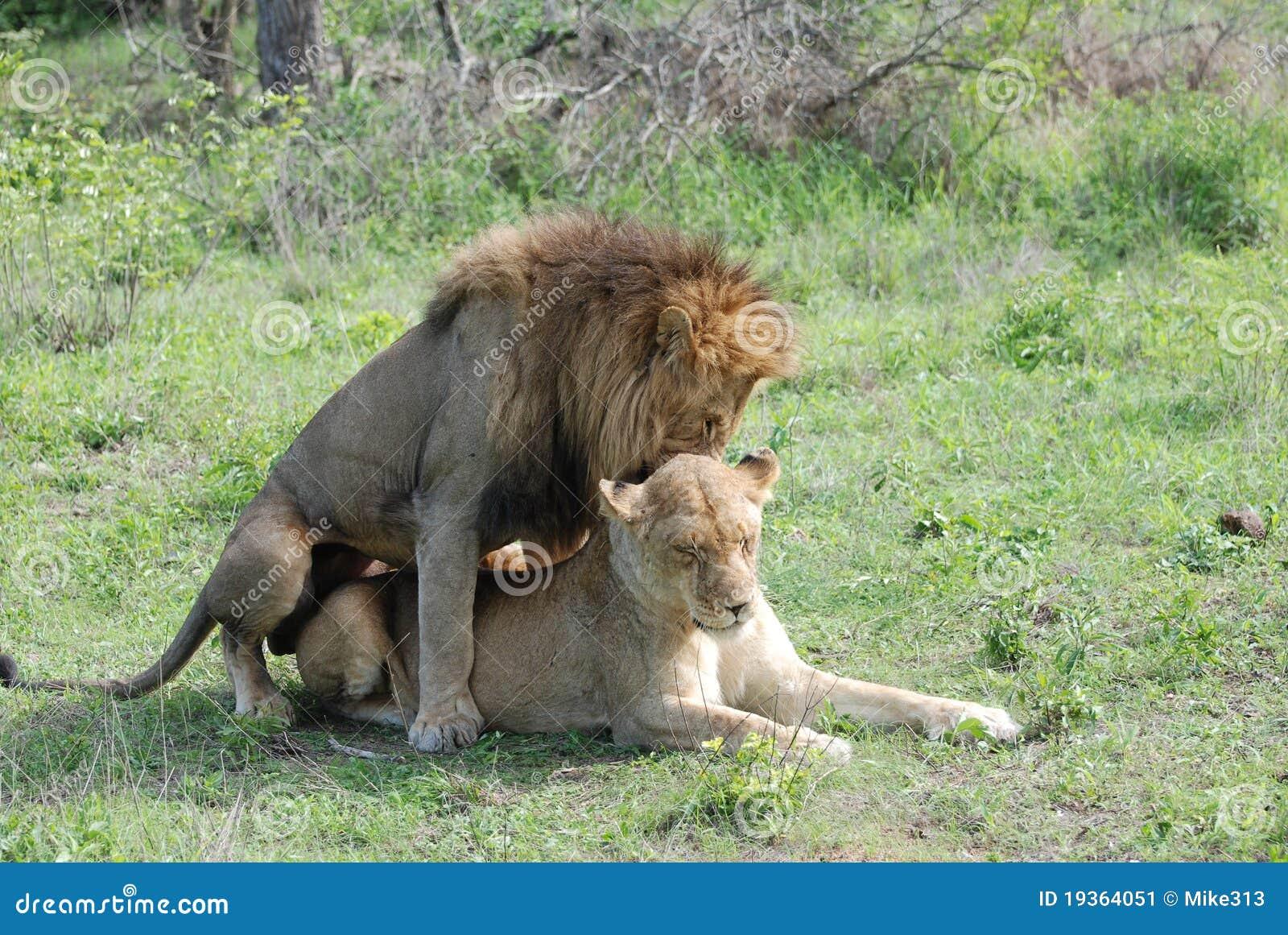 Dois leões no amor